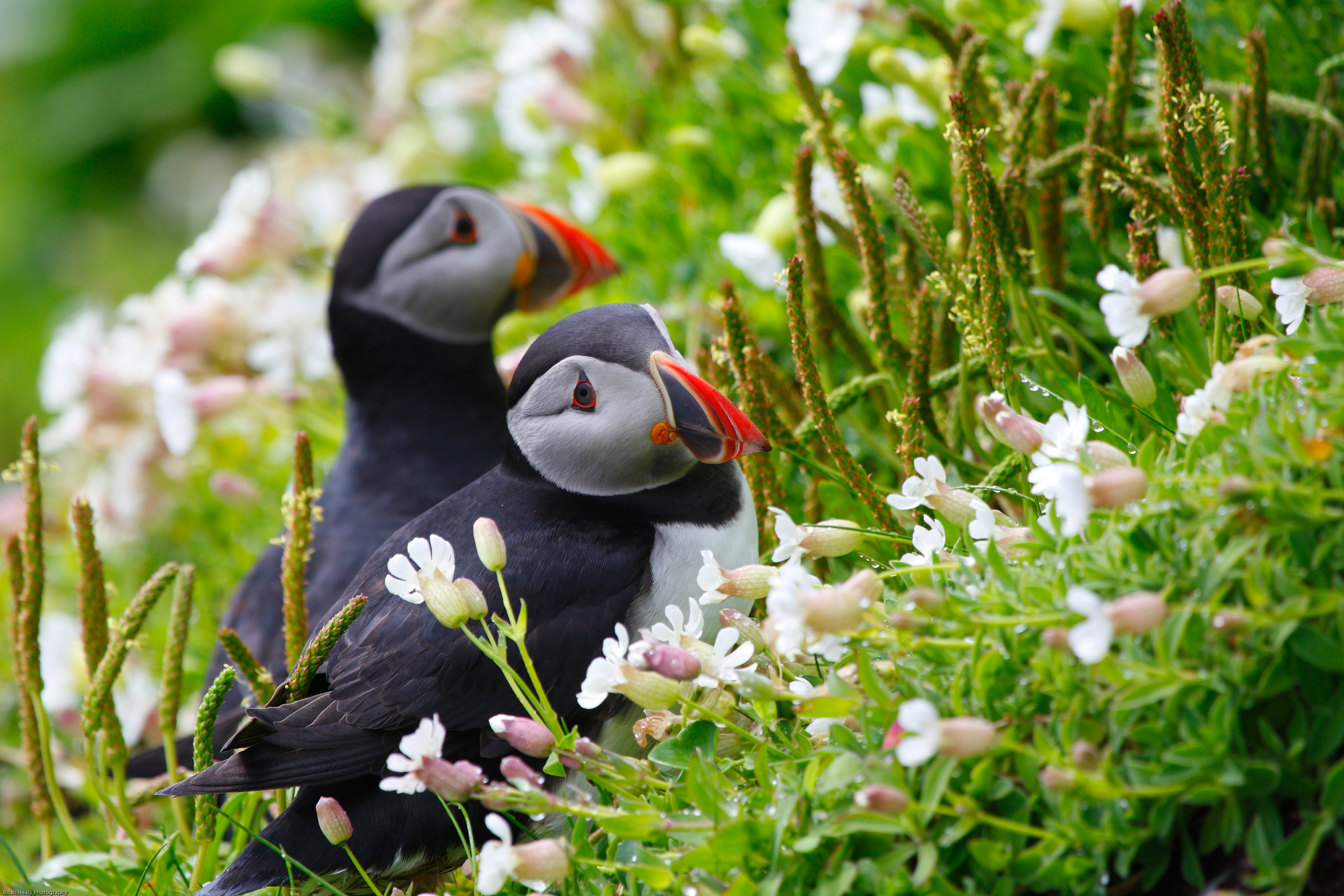 90591 download wallpaper Animals, Flowers, Grass, Cones, Couple, Pair, Sight, Opinion, Spikelets, Dew, Dead Ends, Deadlocks, Puffin screensavers and pictures for free