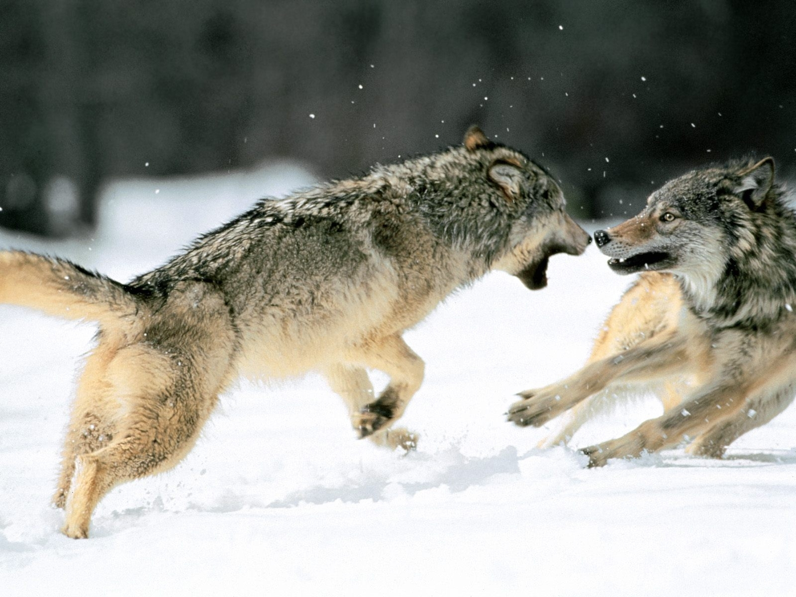 6207 download wallpaper Animals, Wolfs screensavers and pictures for free