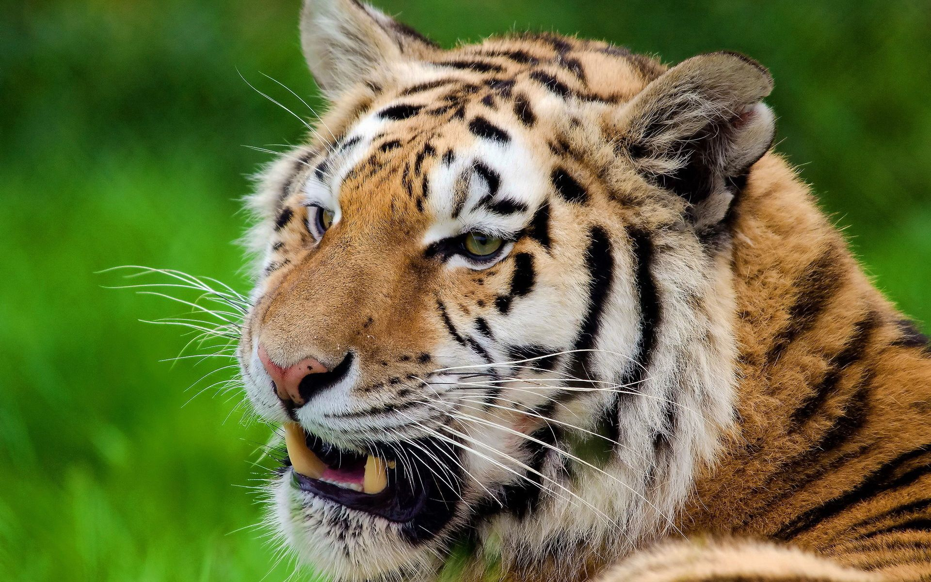 98427 download wallpaper Animals, Tiger, Grin, Predator, Muzzle screensavers and pictures for free
