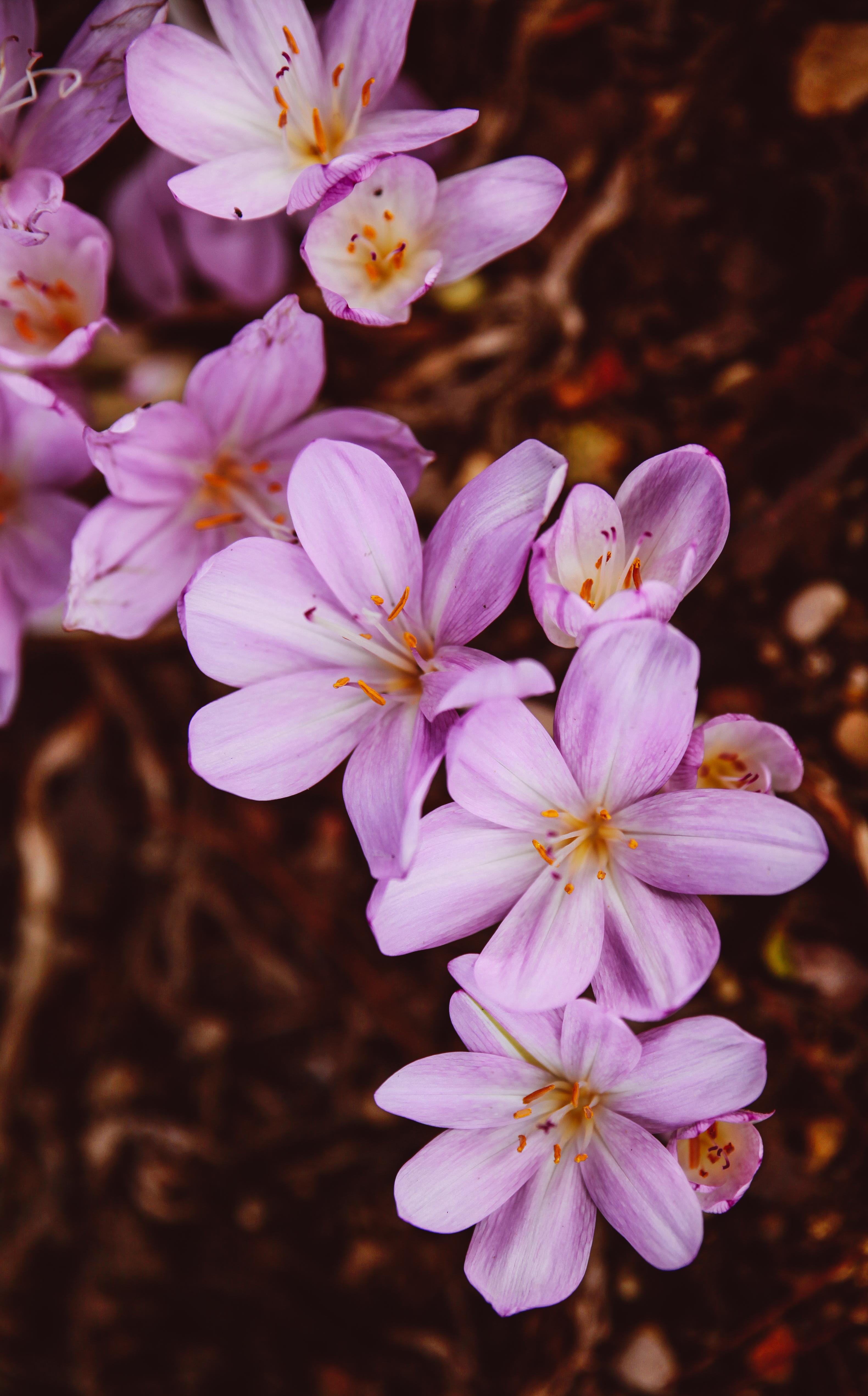 104008 скачать обои Цветы, Шафран, Крокус, Цветок, Цветущий, Сад, Розовый - заставки и картинки бесплатно