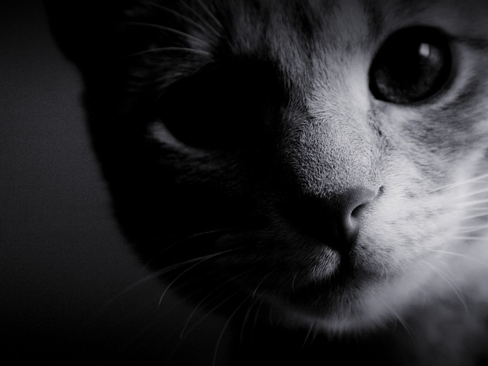 77883 Screensavers and Wallpapers Nose for phone. Download Dark, Cat, Muzzle, Eyes, Bw, Chb, Nose, Wool pictures for free