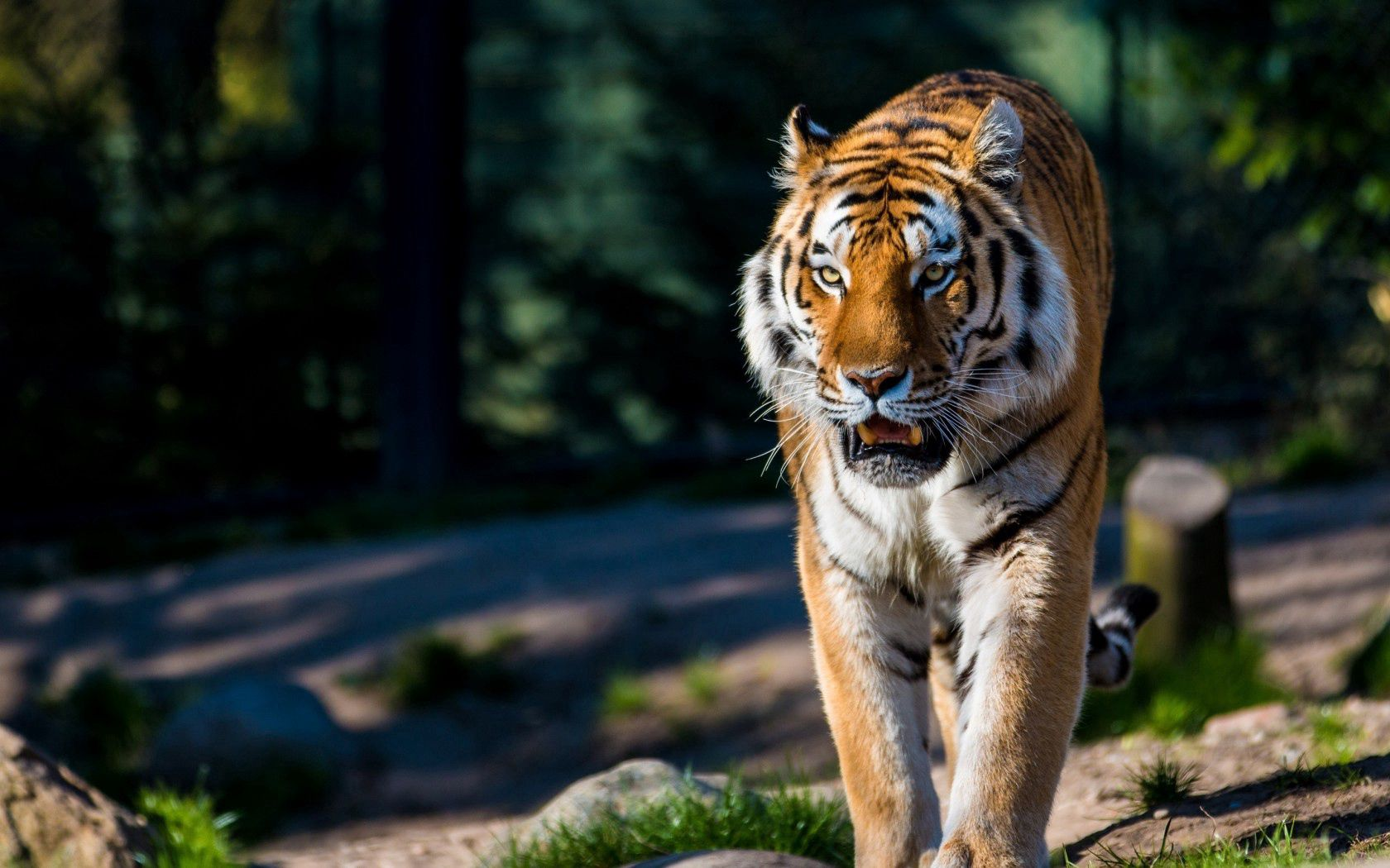 70116 download wallpaper Animals, Amur Tiger, Wild Cat, Wildcat, Predator, Stroll screensavers and pictures for free