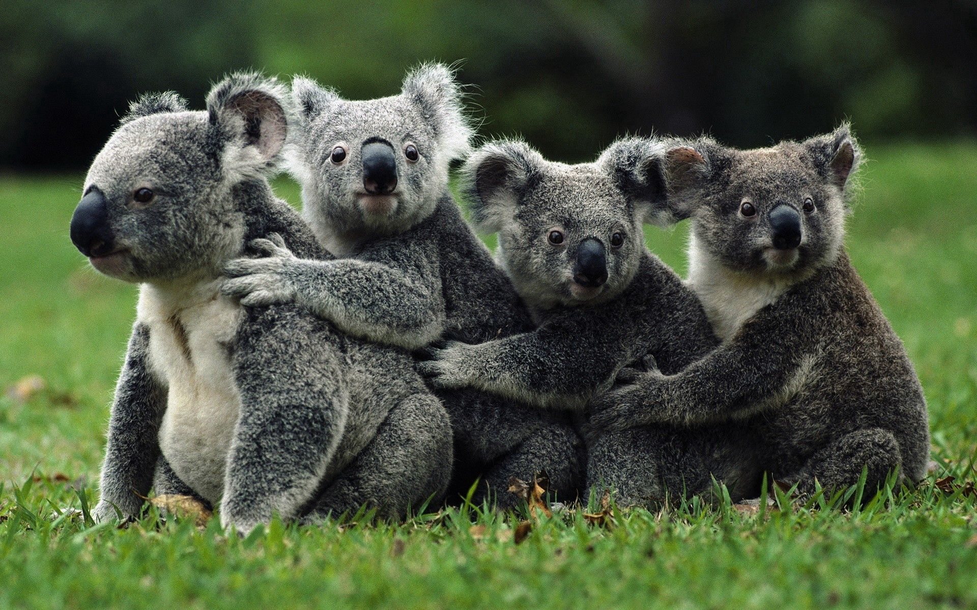 116418 download wallpaper Animals, Koalas, Crowd, Wild screensavers and pictures for free