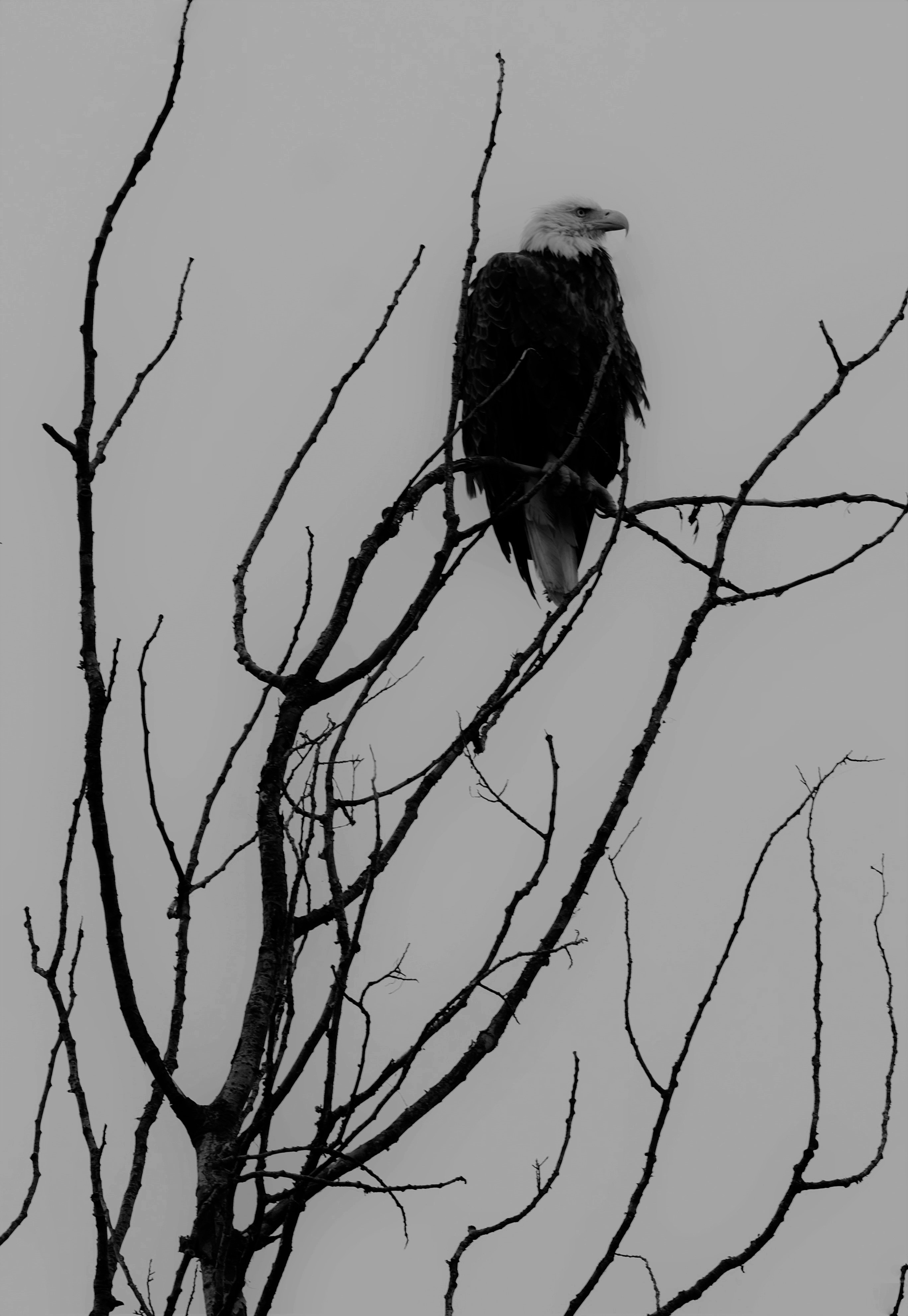 127265 download wallpaper Animals, Eagle, Bw, Chb, Bird, Predator, Branches screensavers and pictures for free