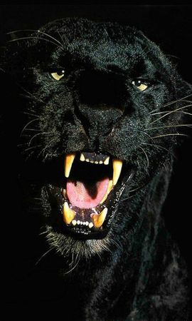 6721 download wallpaper Animals, Panthers screensavers and pictures for free