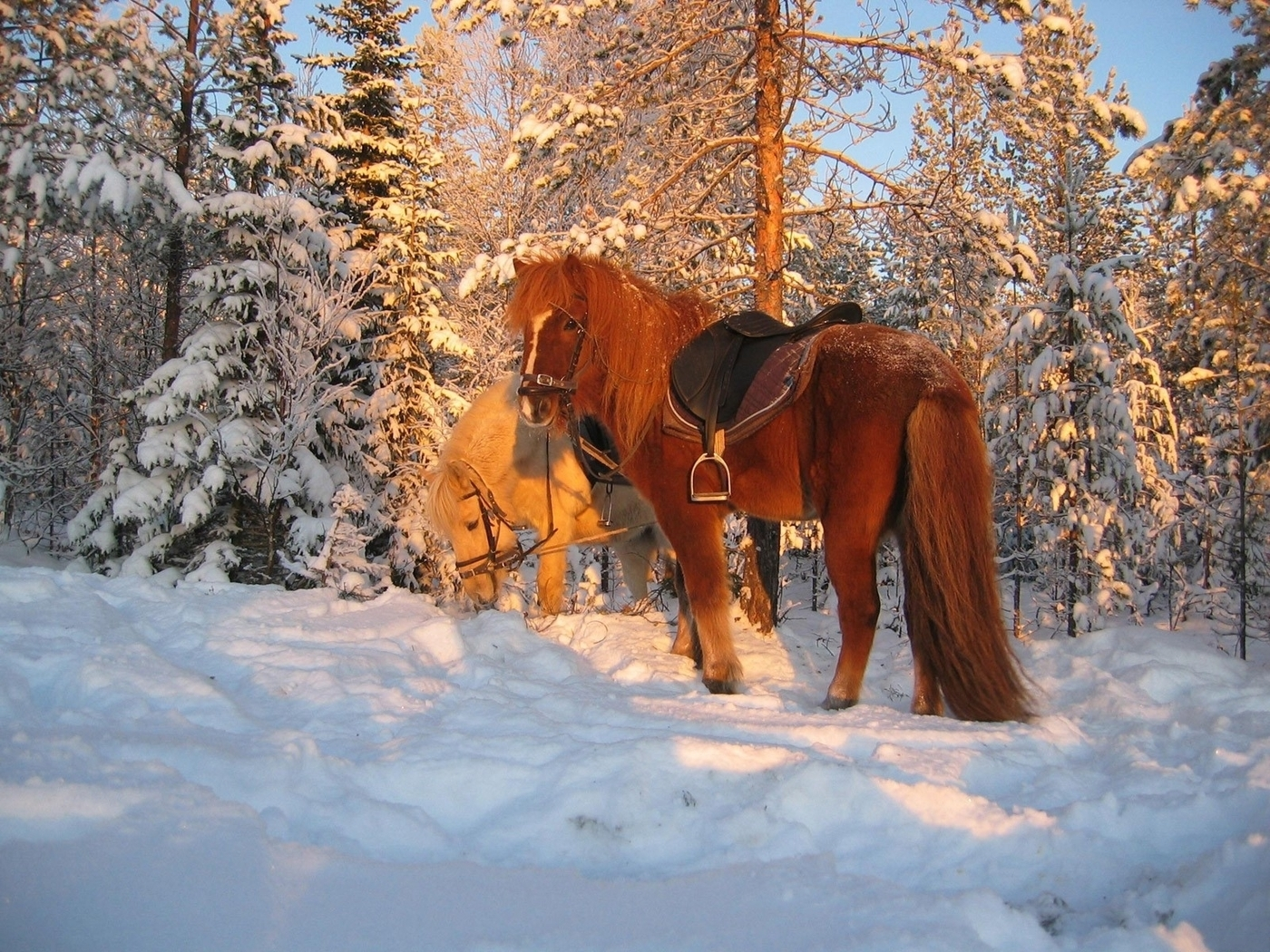 45763 download wallpaper Animals, Winter, Horses, Snow screensavers and pictures for free