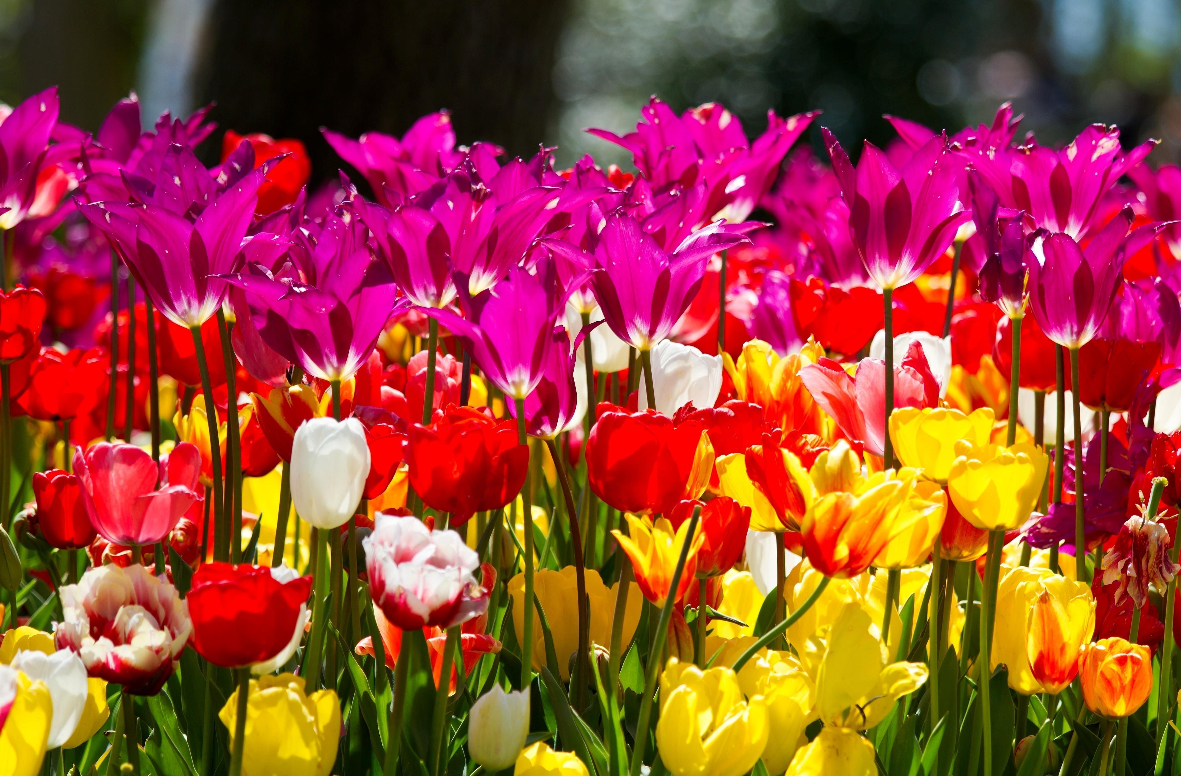 146914 скачать обои Цветы, Разные, Клумба, Солнечно, Тюльпаны - заставки и картинки бесплатно