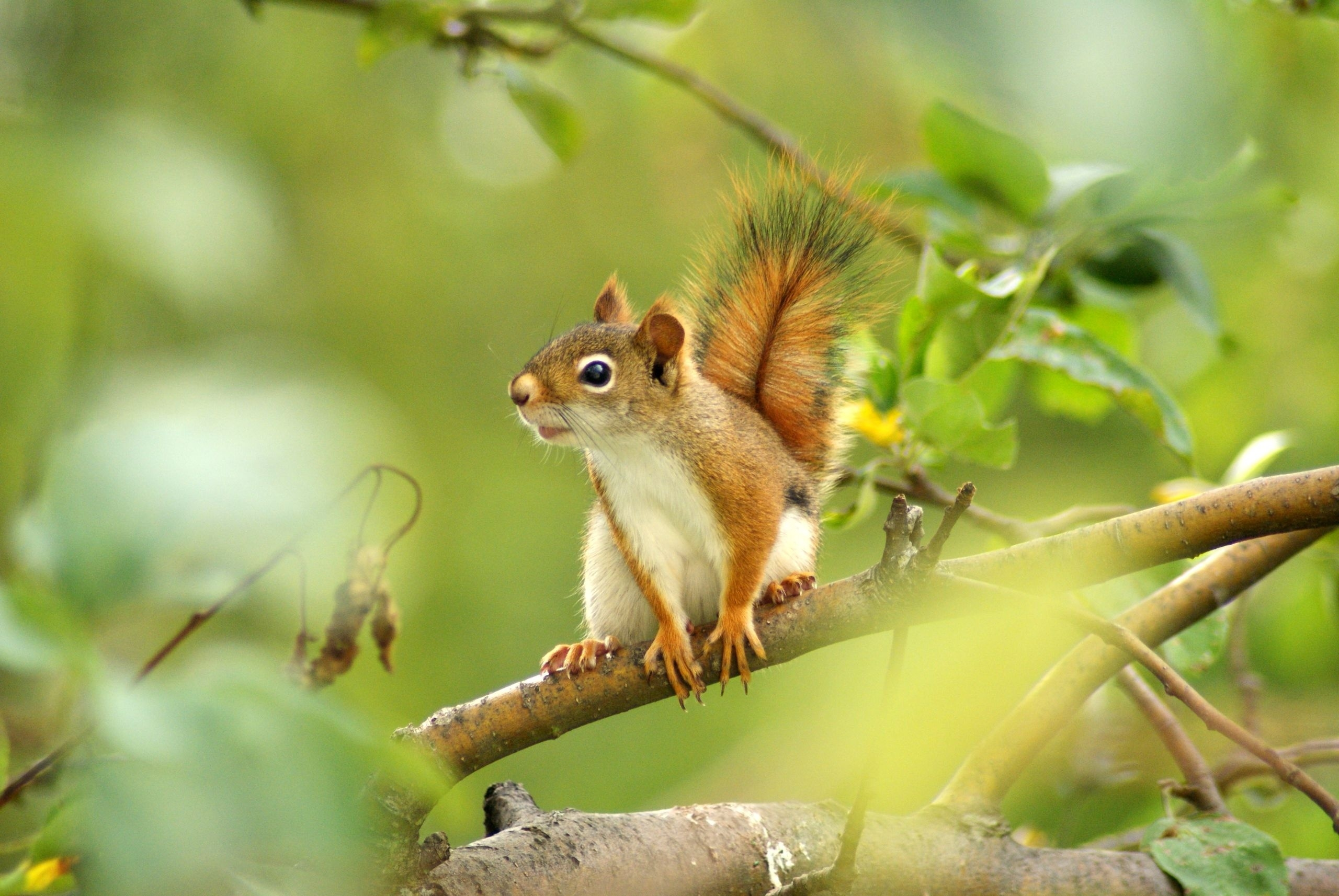 67597 Screensavers and Wallpapers Squirrel for phone. Download Animals, Squirrel, Wood, Sit, Tree, Blur, Smooth, Branch pictures for free