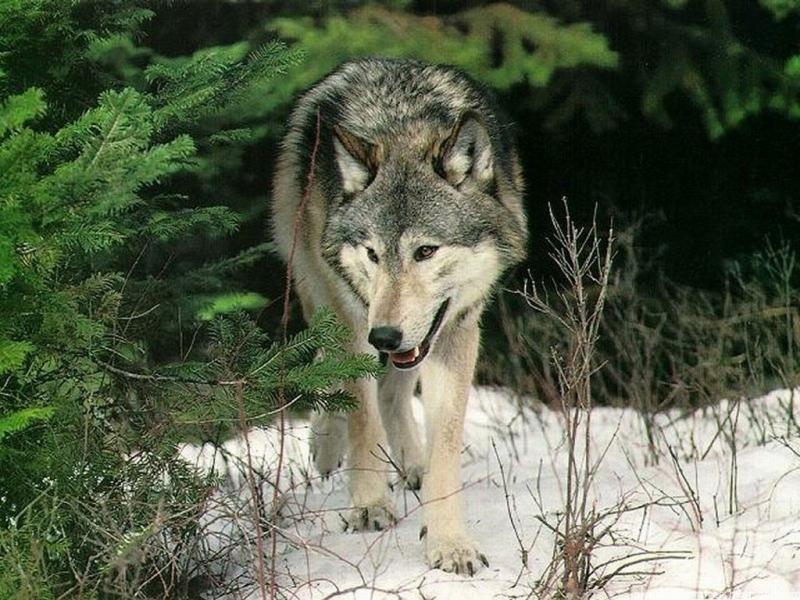 46127 скачать обои Волки, Животные - заставки и картинки бесплатно