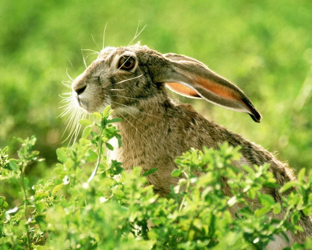 5521 download wallpaper Animals, Rodents, Rabbits screensavers and pictures for free