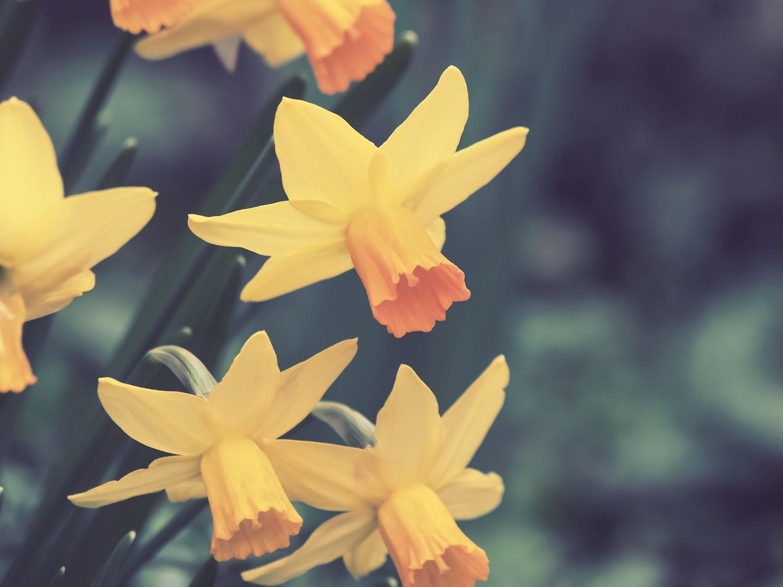 134240 Заставки и Обои Нарциссы на телефон. Скачать Цветы, Нарциссы, Бутоны картинки бесплатно