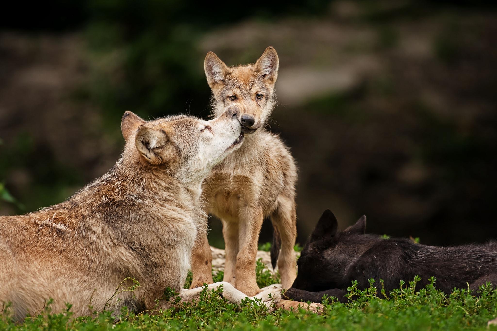 84799 Hintergrundbild herunterladen Tiere, Wölfe, Grass, Junge, Sich Hinlegen, Liegen, Pflege, Joey, Raubtiere - Bildschirmschoner und Bilder kostenlos