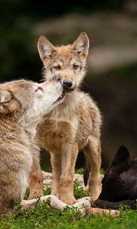 84799 baixar papel de parede Animais, Lobos, Novo, Joey, Cuidado, Predadores, Deitar-Se, Mentir, Grama - protetores de tela e imagens gratuitamente