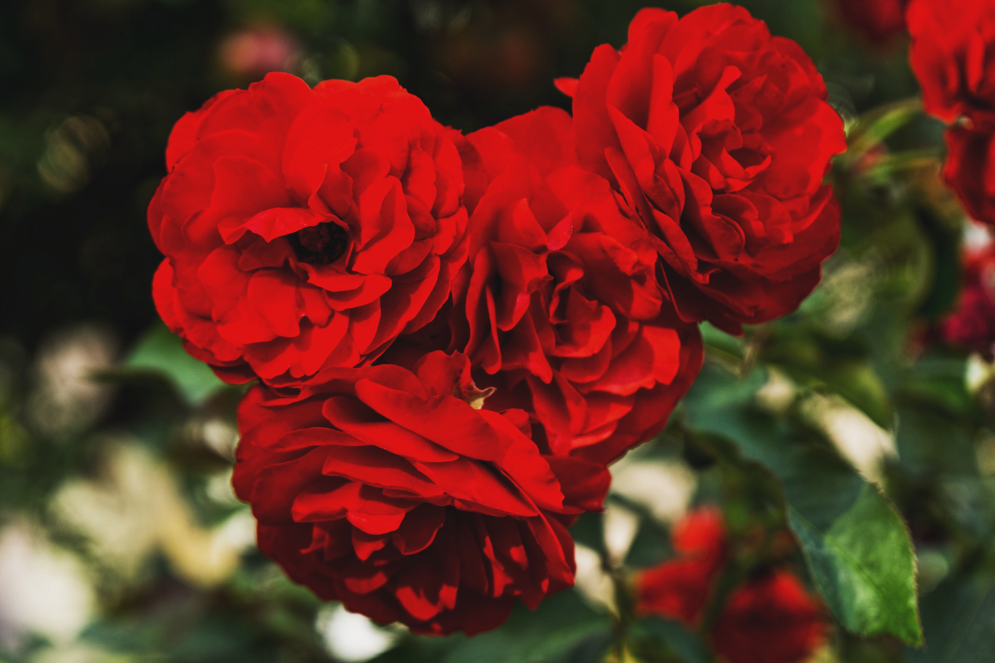 Скачать обои Красные Розы на телефон бесплатно