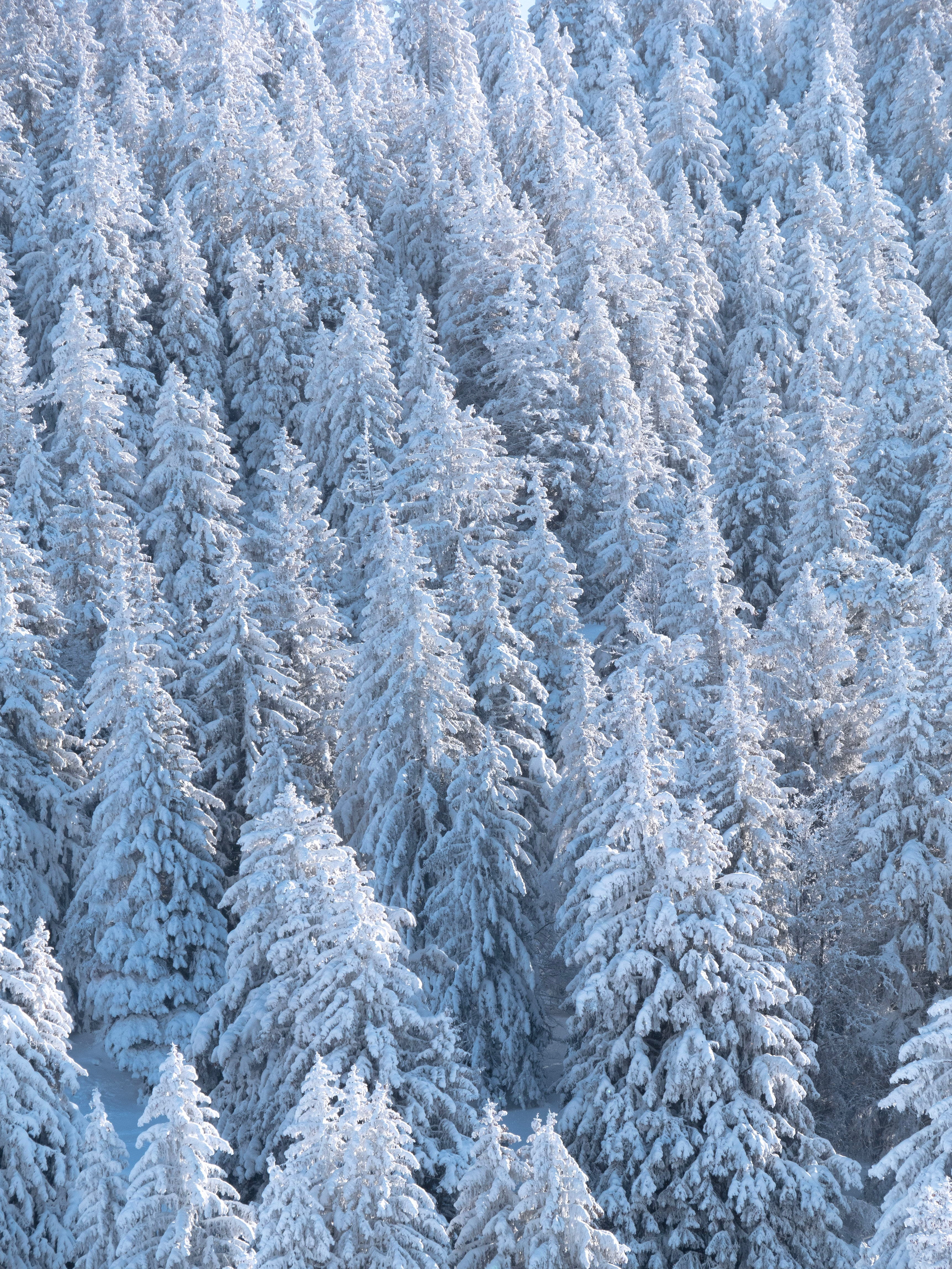 152163 download wallpaper Nature, Forest, Trees, Snow, Fir-Trees screensavers and pictures for free