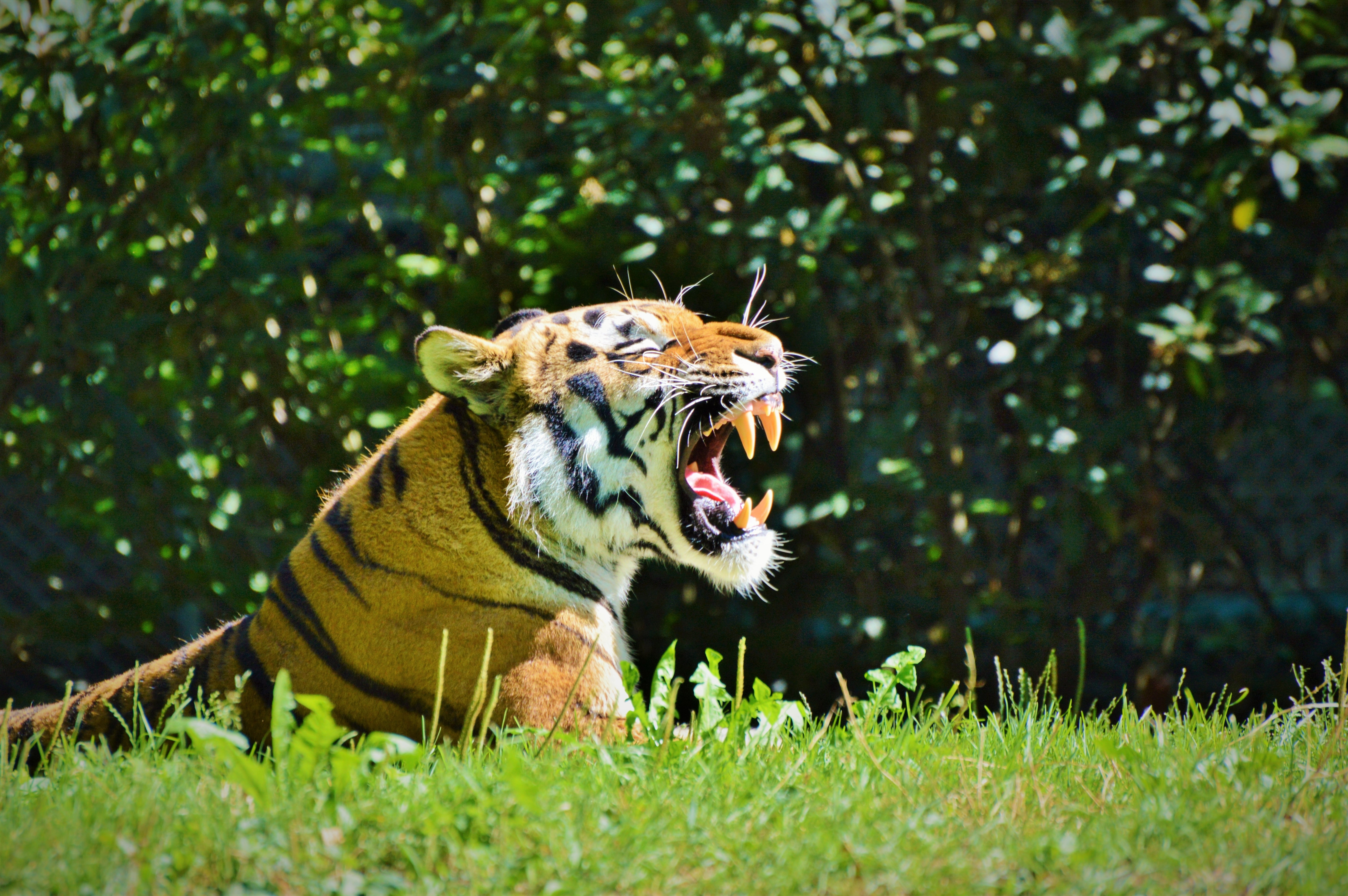 105673 download wallpaper Animals, Tiger, Predator, Grin, Profile screensavers and pictures for free