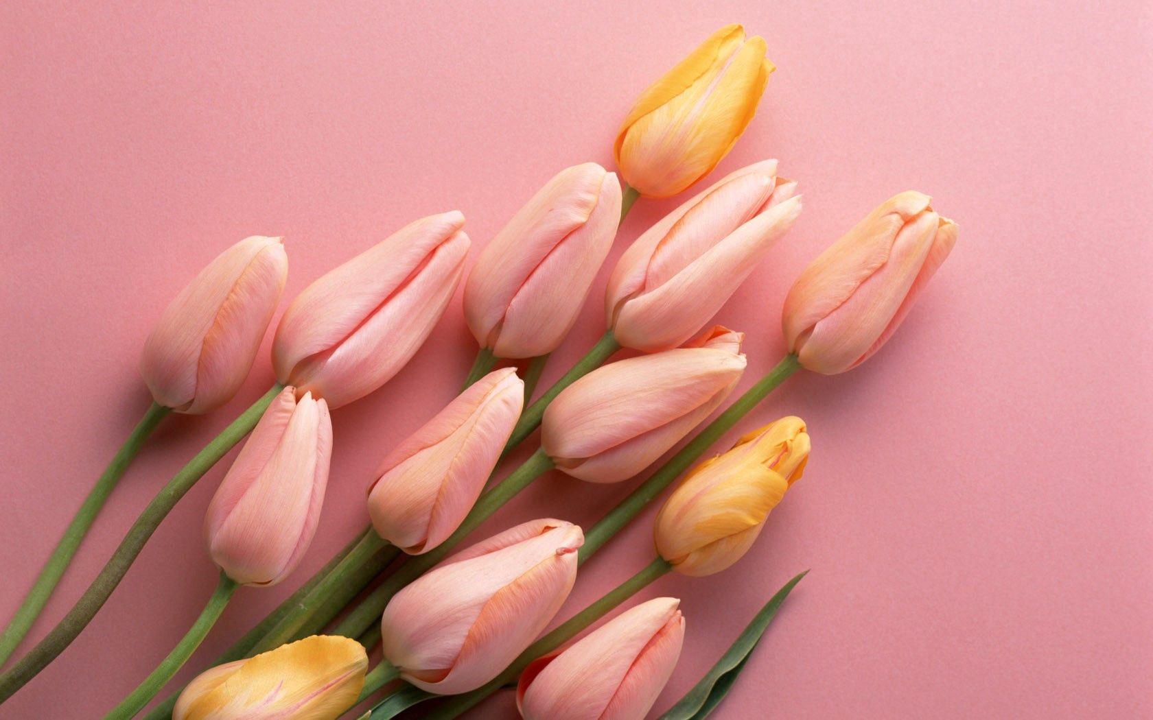 98674 descargar fondo de pantalla Flores, Tumbarse, Mentir, Cogollos, Brotes, Tulipanes: protectores de pantalla e imágenes gratis