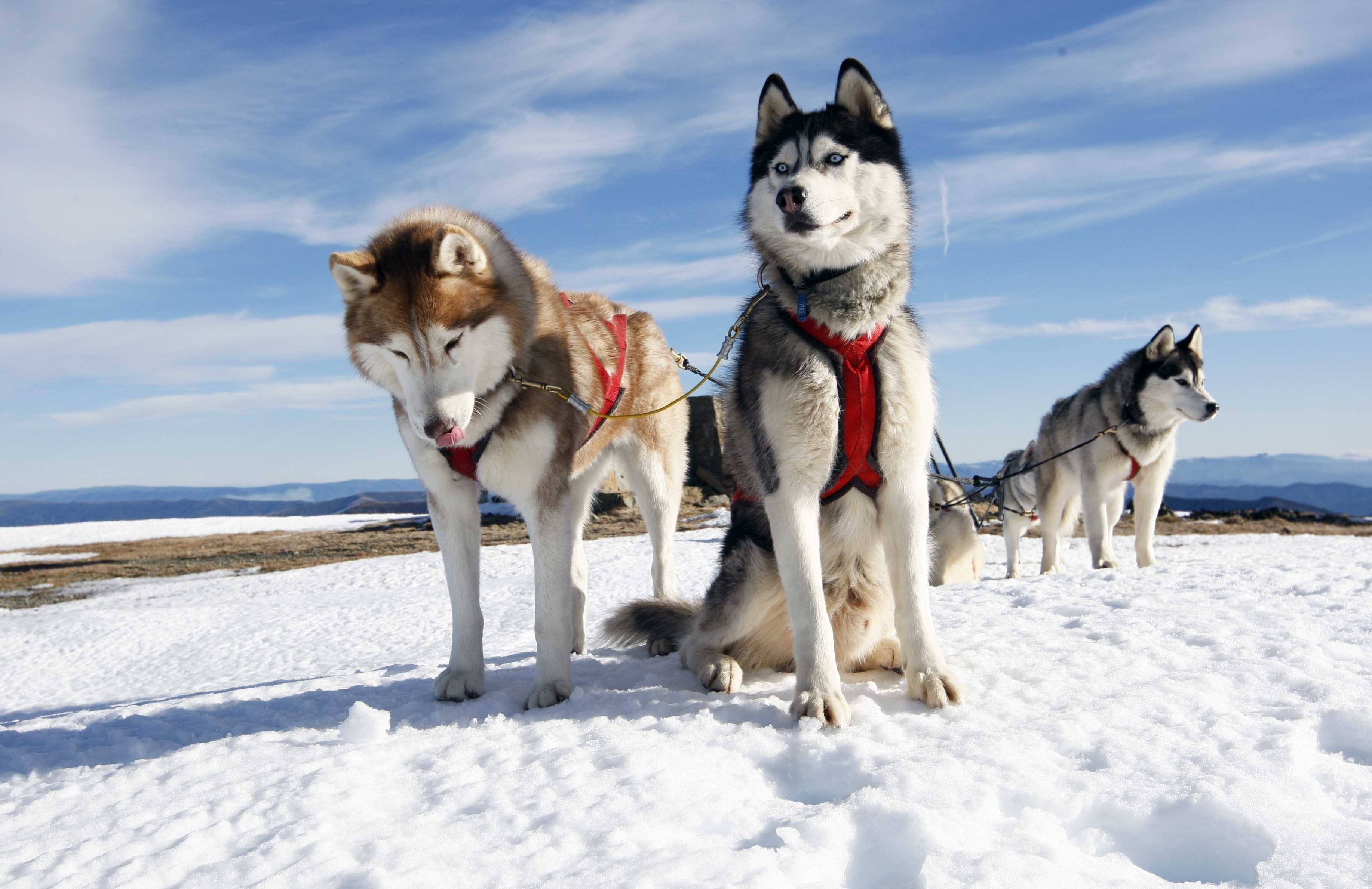 67760 download wallpaper Animals, Husky, Couple, Pair, Dogs, Snow, Alaska screensavers and pictures for free