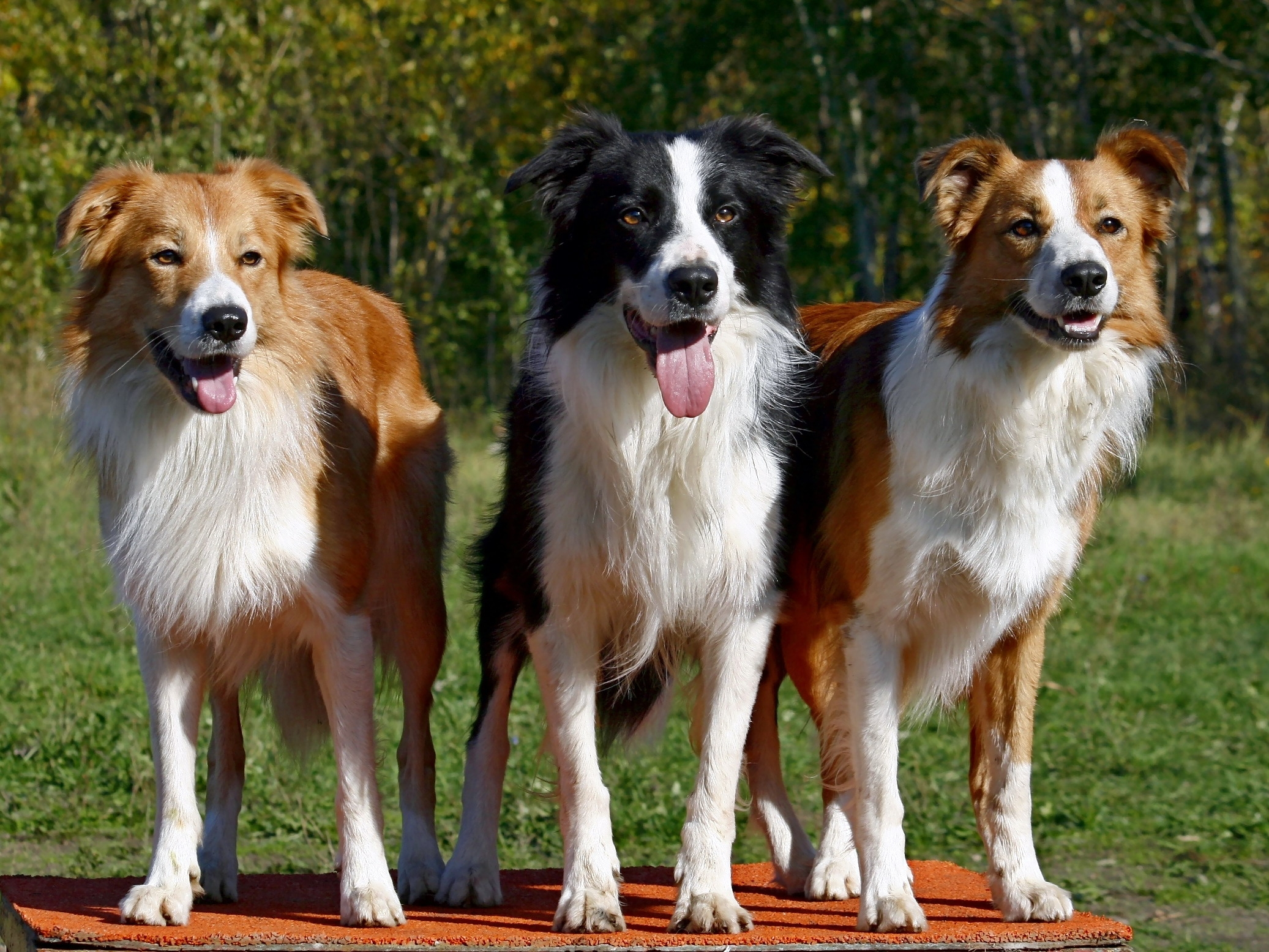 134613 download wallpaper Animals, Dogs, Three, Fluffy, To Stand, Stand, Expectation, Waiting screensavers and pictures for free