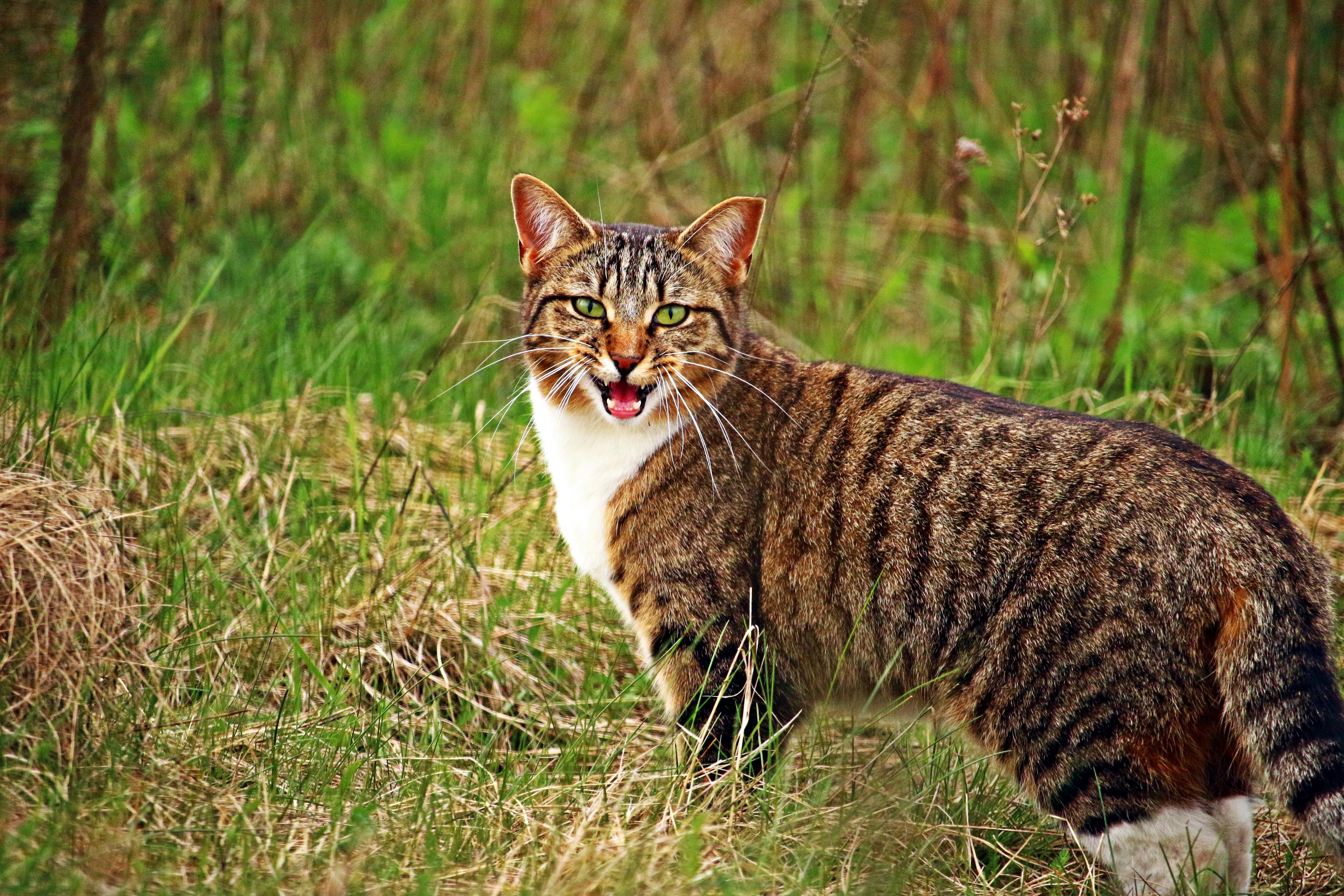 60537 Hintergrundbild herunterladen Tiere, Grass, Der Kater, Katze, Schrei, Weinen - Bildschirmschoner und Bilder kostenlos