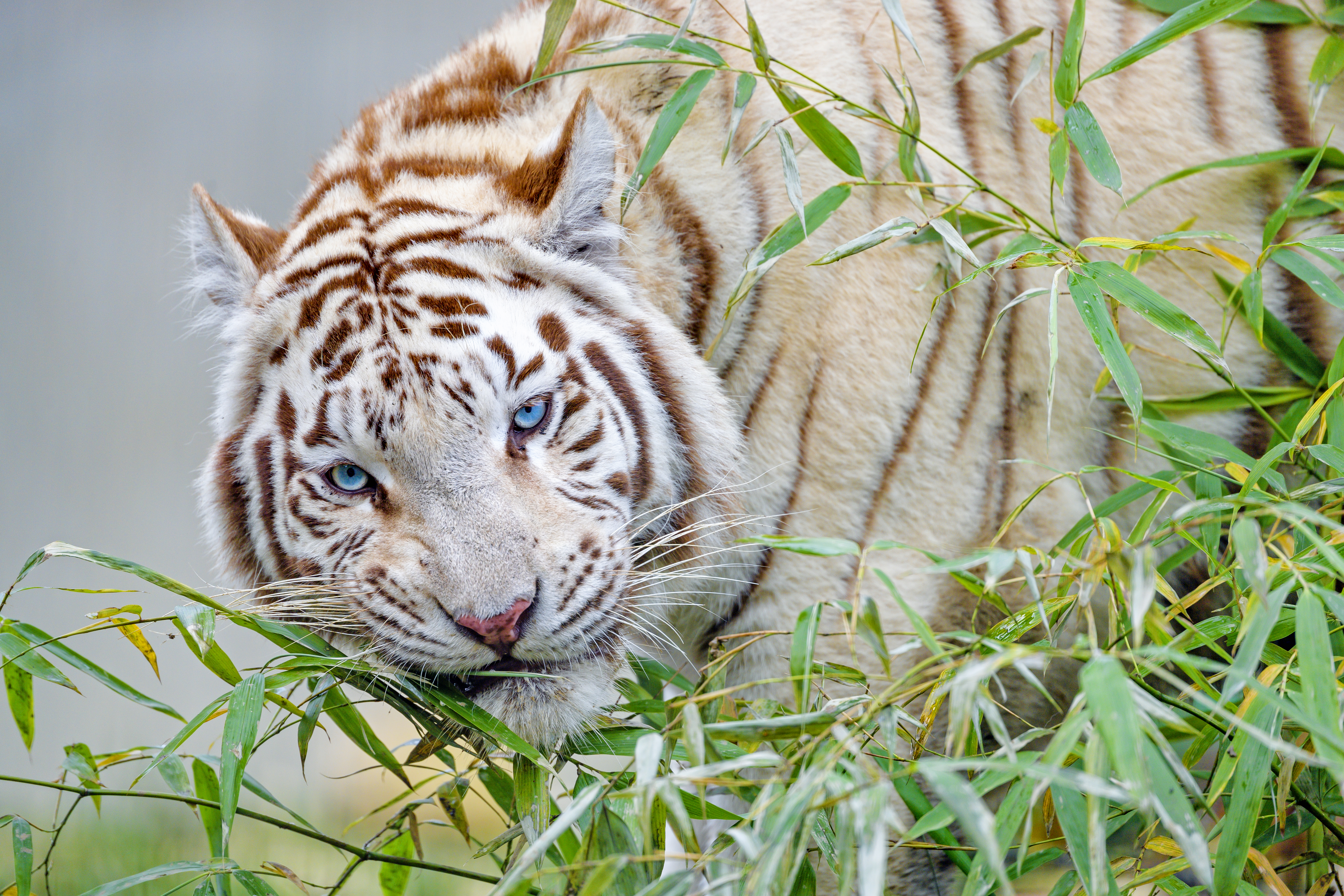 103835 download wallpaper Animals, White Tiger, Tiger, Branch, Bamboo, Big Cat screensavers and pictures for free