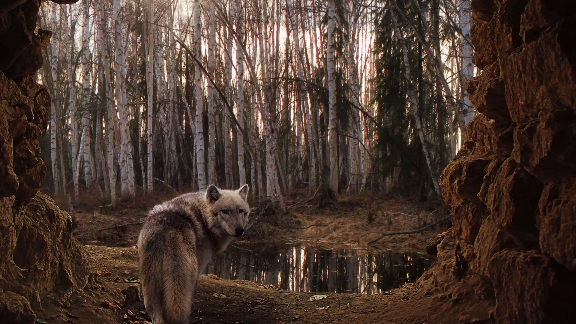 27293 скачать обои Животные, Волки - заставки и картинки бесплатно