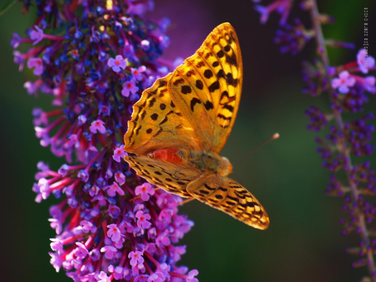 6162 скачать обои Бабочки, Насекомые - заставки и картинки бесплатно