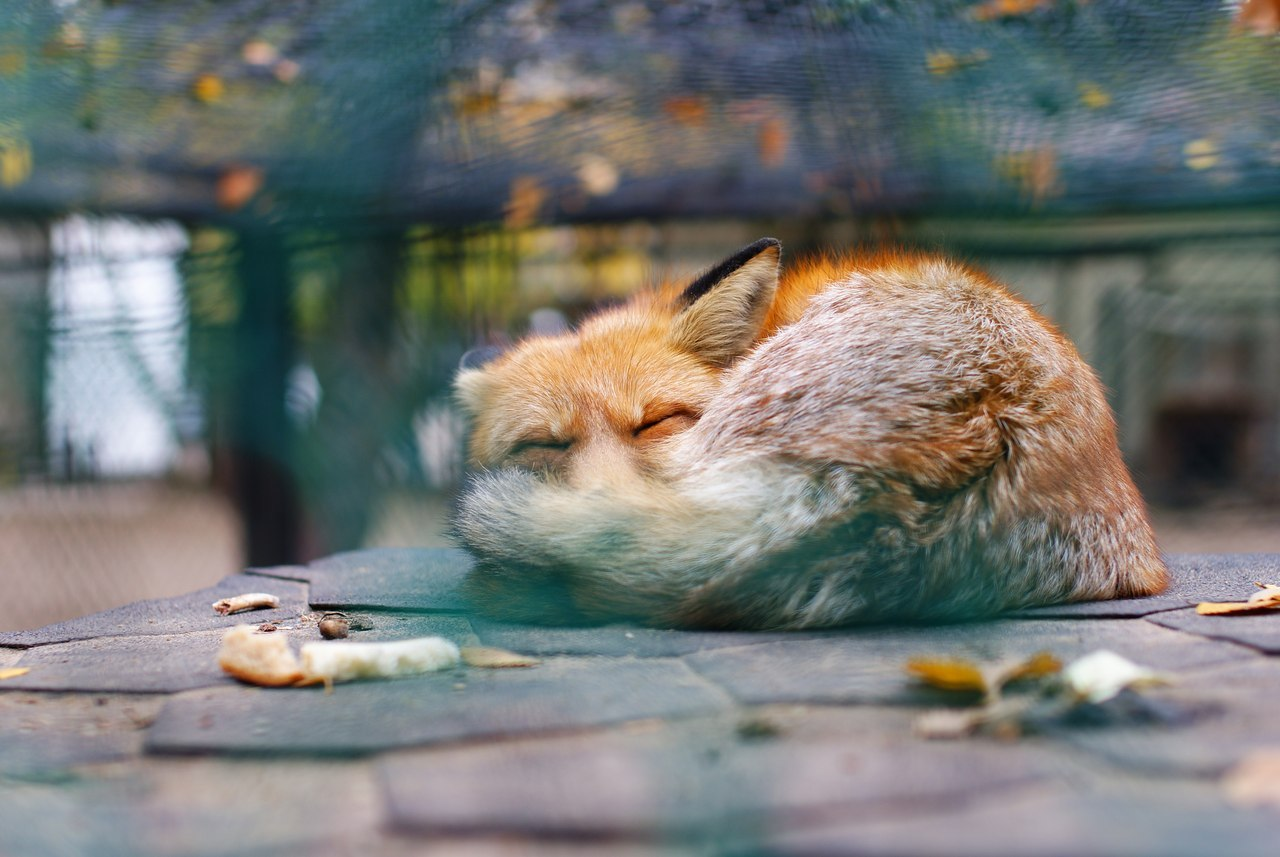 15112 download wallpaper Animals, Art Photo, Fox screensavers and pictures for free