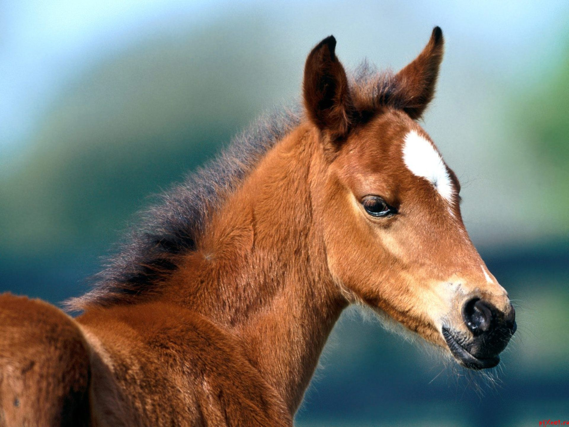 11486 download wallpaper Animals, Horses screensavers and pictures for free