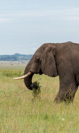 134880 скачать обои Животные, Слон, Животное, Бивни, Саванна - заставки и картинки бесплатно