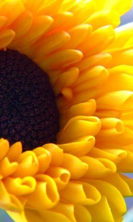 41753 descargar fondo de pantalla Plantas, Girasoles: protectores de pantalla e imágenes gratis
