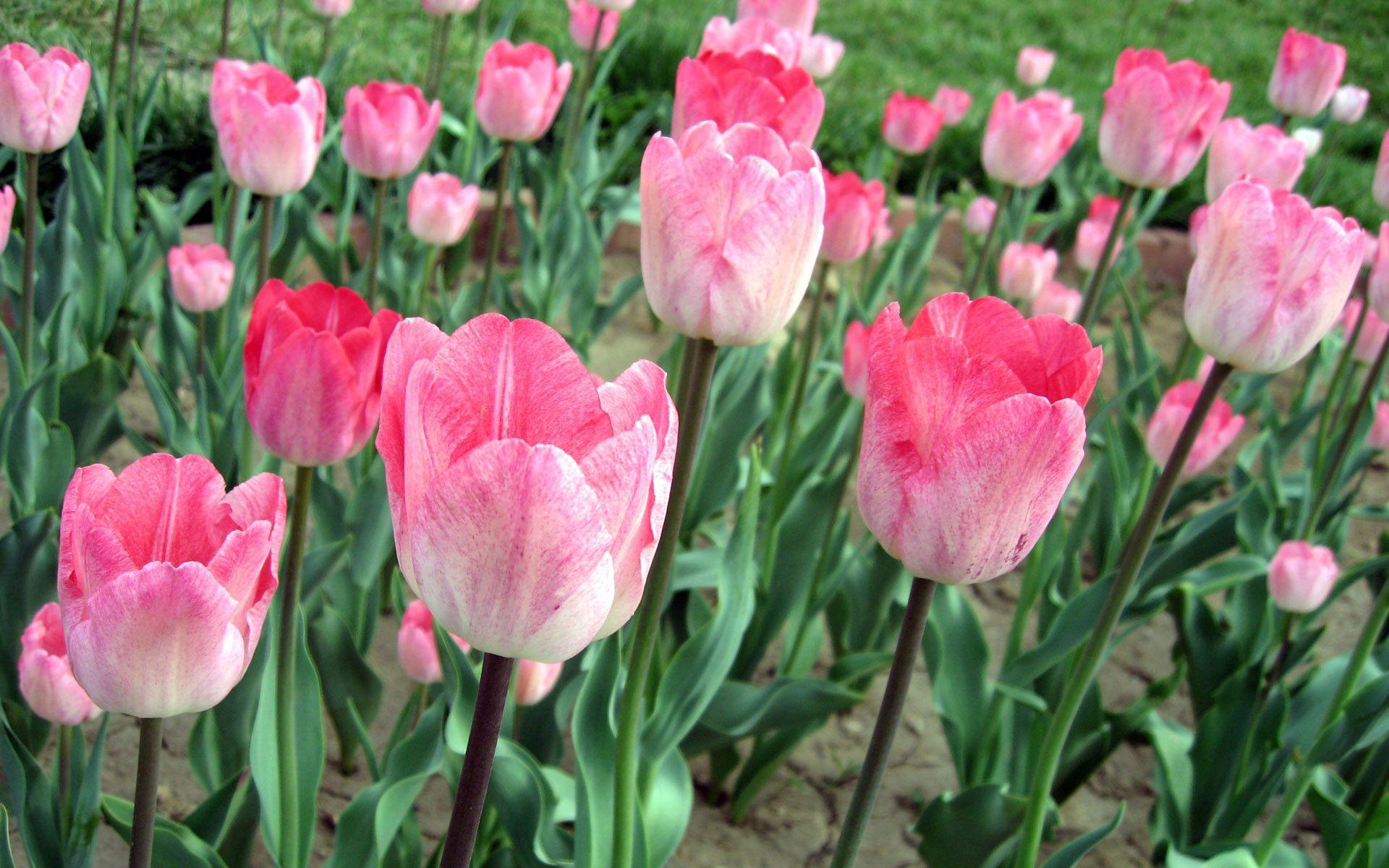 78304 descargar fondo de pantalla Flores, Rosa, Rosado, Cama De Flores, Parterre, Verduras, Tulipanes: protectores de pantalla e imágenes gratis