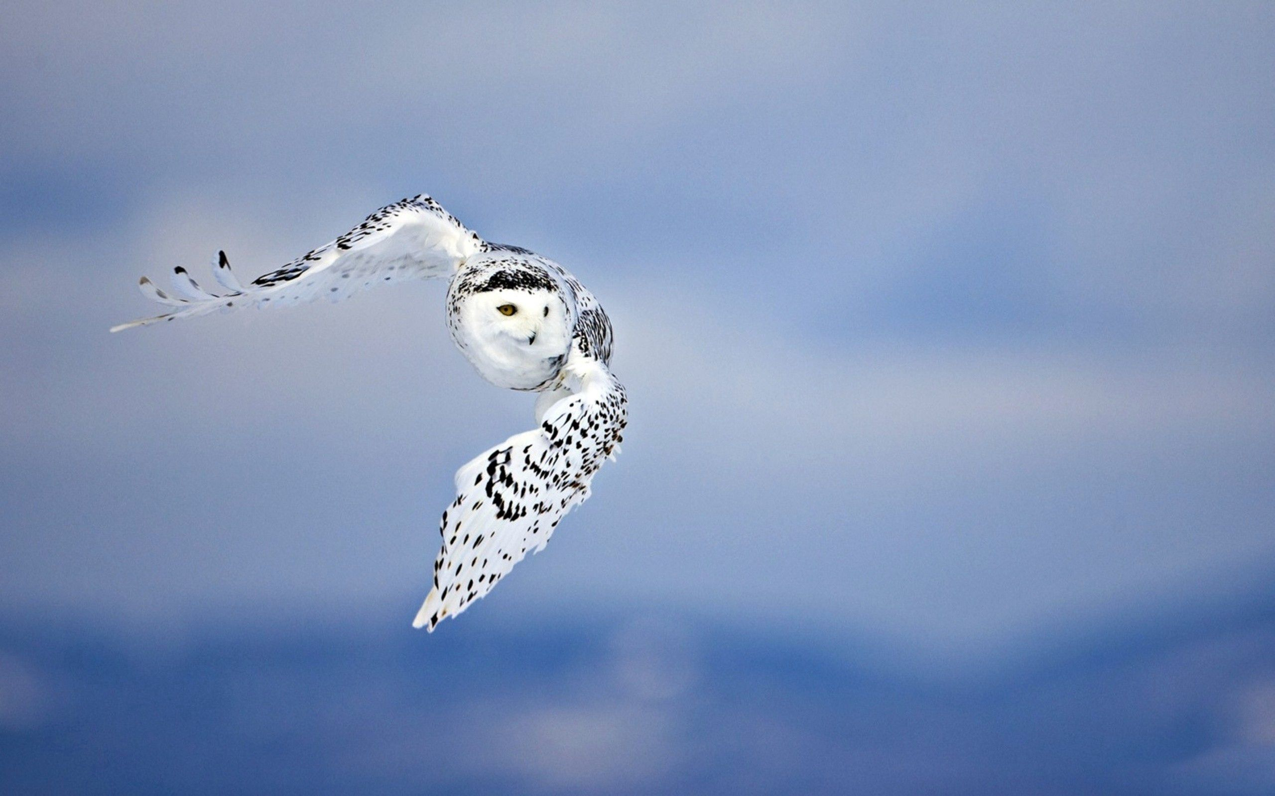 122026 Hintergrundbild herunterladen Eule, Tiere, Vogel, Raubtier, Predator, Flug - Bildschirmschoner und Bilder kostenlos