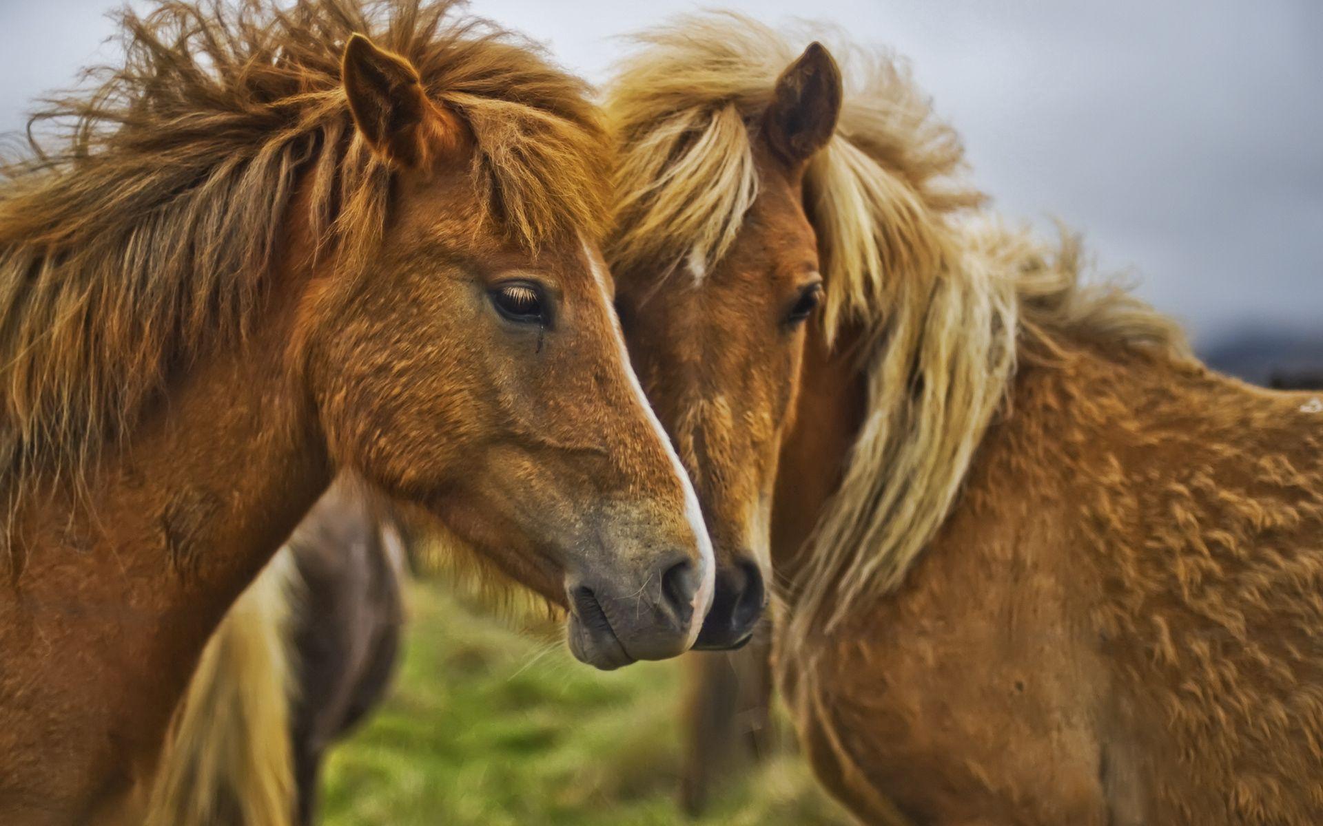 63308 Protetores de tela e papéis de parede Cavalos em seu telefone. Baixe Cavalos, Animais, Casal, Par, Focinho, Juba fotos gratuitamente