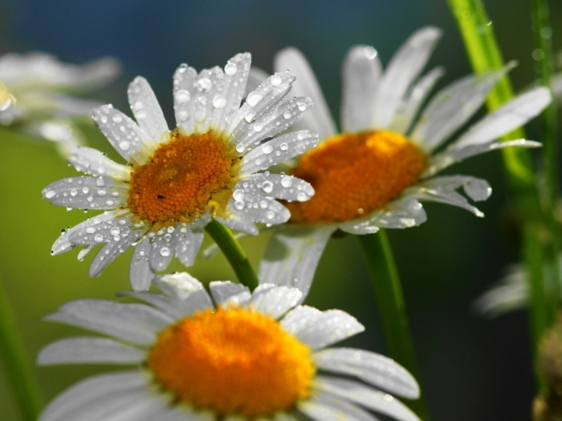 47664 download wallpaper Plants, Flowers, Camomile screensavers and pictures for free