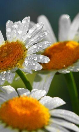 47664 télécharger le fond d'écran Plantes, Fleurs, Camomille - économiseurs d'écran et images gratuitement