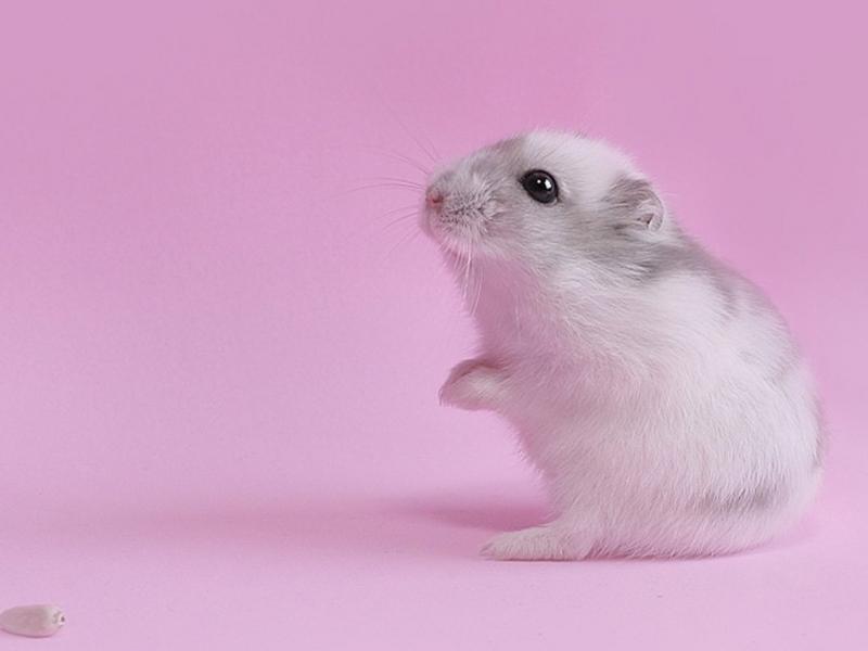 Baixar papel de parede para celular de Hamsters, Violeta, Animais gratuito.