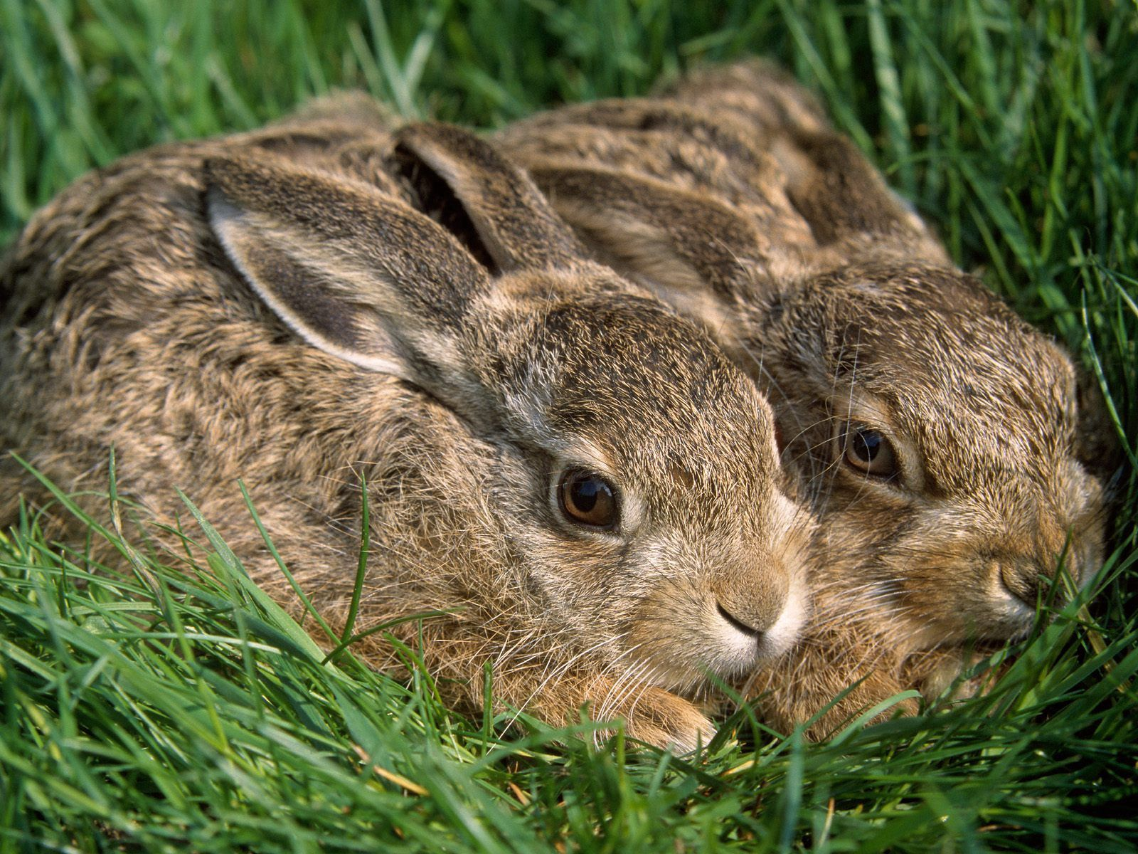 128287 download wallpaper Animals, Grass, Rabbits, Couple, Pair, Hide, Fright screensavers and pictures for free