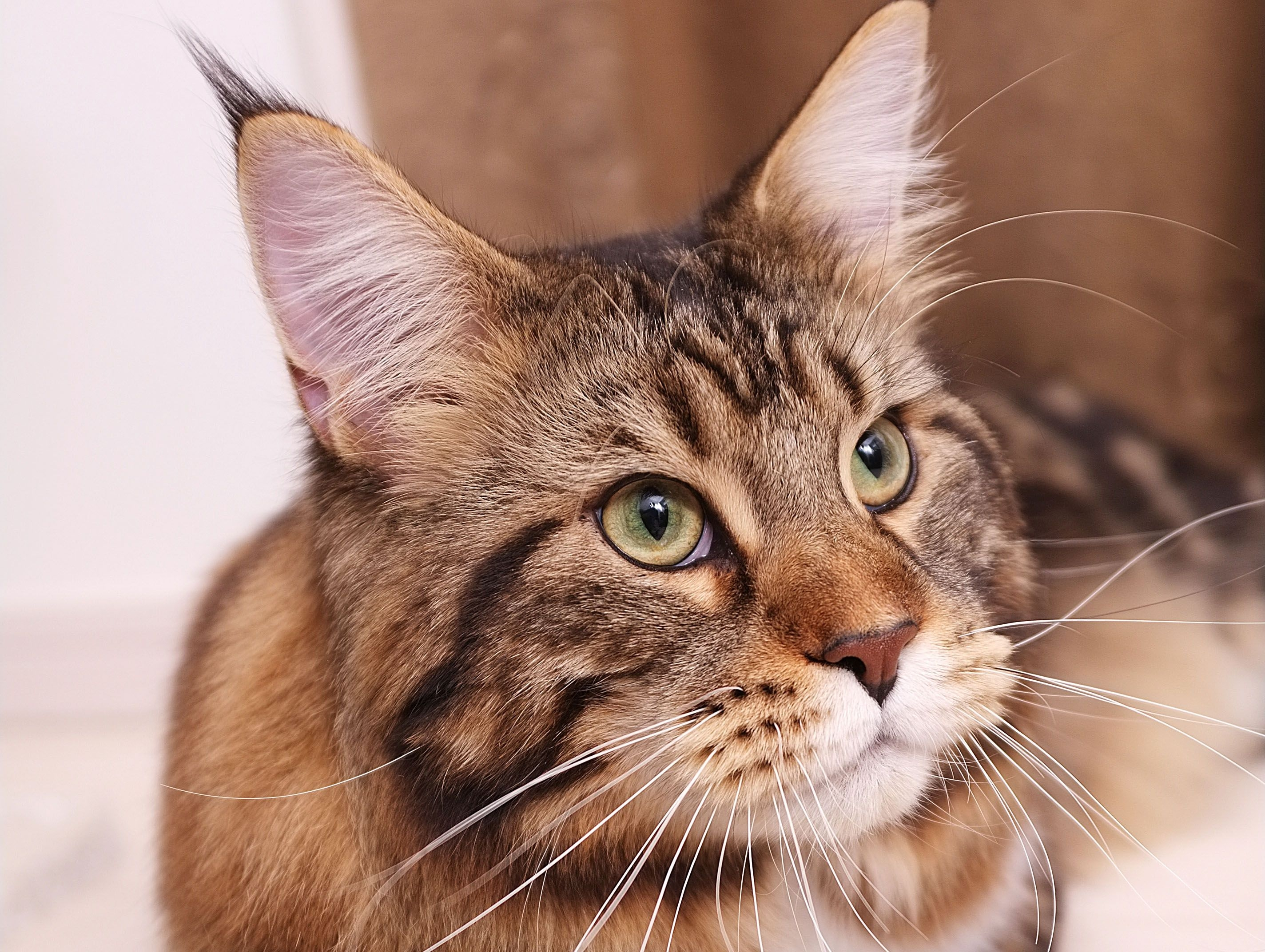 110173 download wallpaper Animals, Cat, Maine Coon, Maine, Fluffy, Muzzle, Fat, Thick screensavers and pictures for free