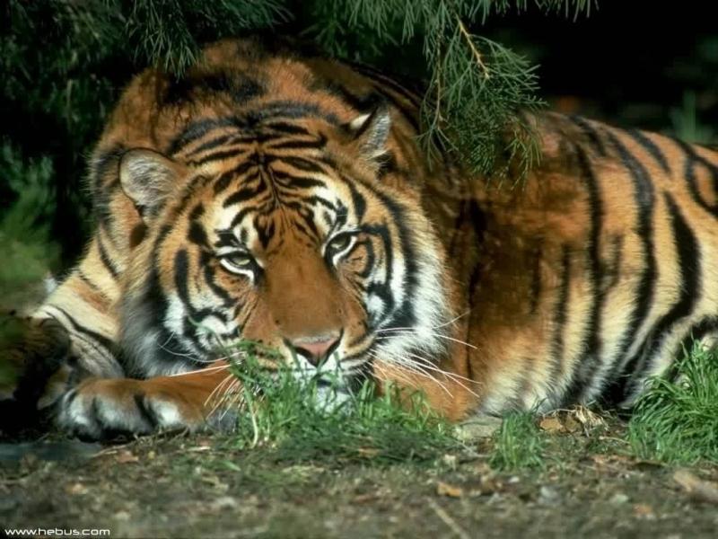30886 Заставки и Обои Тигры на телефон. Скачать Животные, Тигры картинки бесплатно