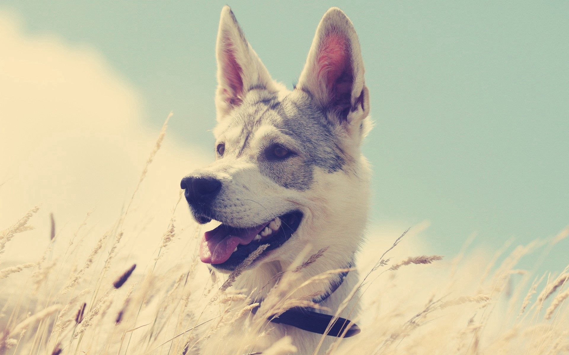99825 download wallpaper Animals, Dog, Grass, Hunting, Hunt, Run, Running, Enthusiasm screensavers and pictures for free