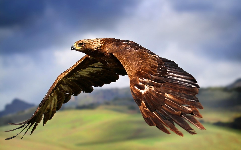 70465 descargar fondo de pantalla Animales, Águila, Pájaro, Depredador, Vuelo, Alas, Barrer, Ola: protectores de pantalla e imágenes gratis