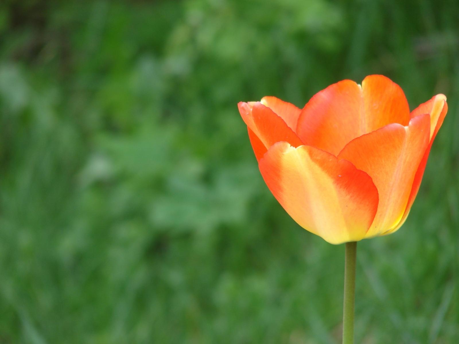 11255 скачать обои Растения, Цветы, Тюльпаны - заставки и картинки бесплатно