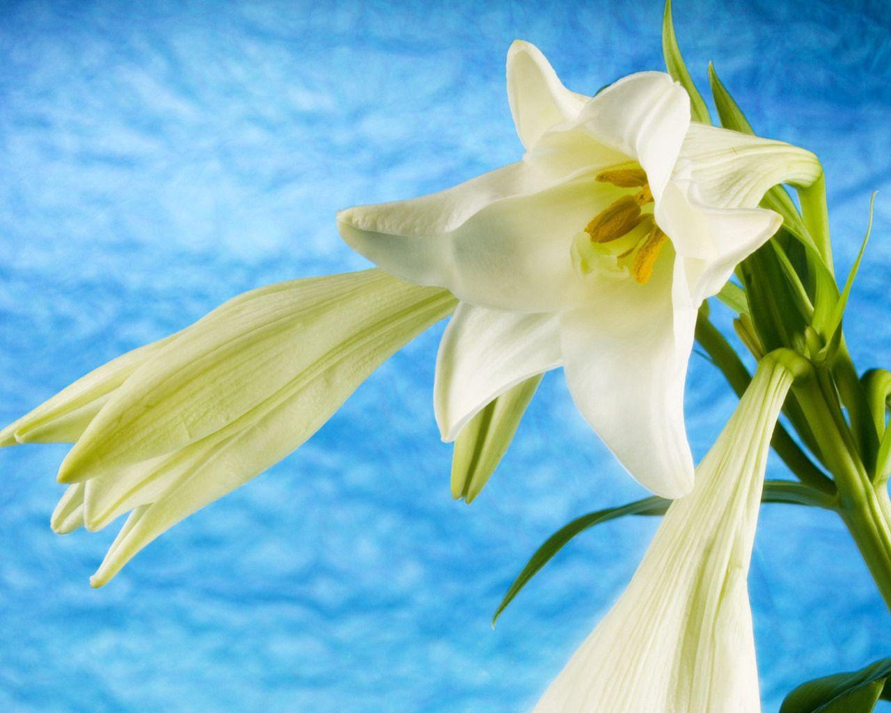 86924 télécharger le fond d'écran Fleurs, Lilies, Contexte, Tige, Bourgeons - économiseurs d'écran et images gratuitement