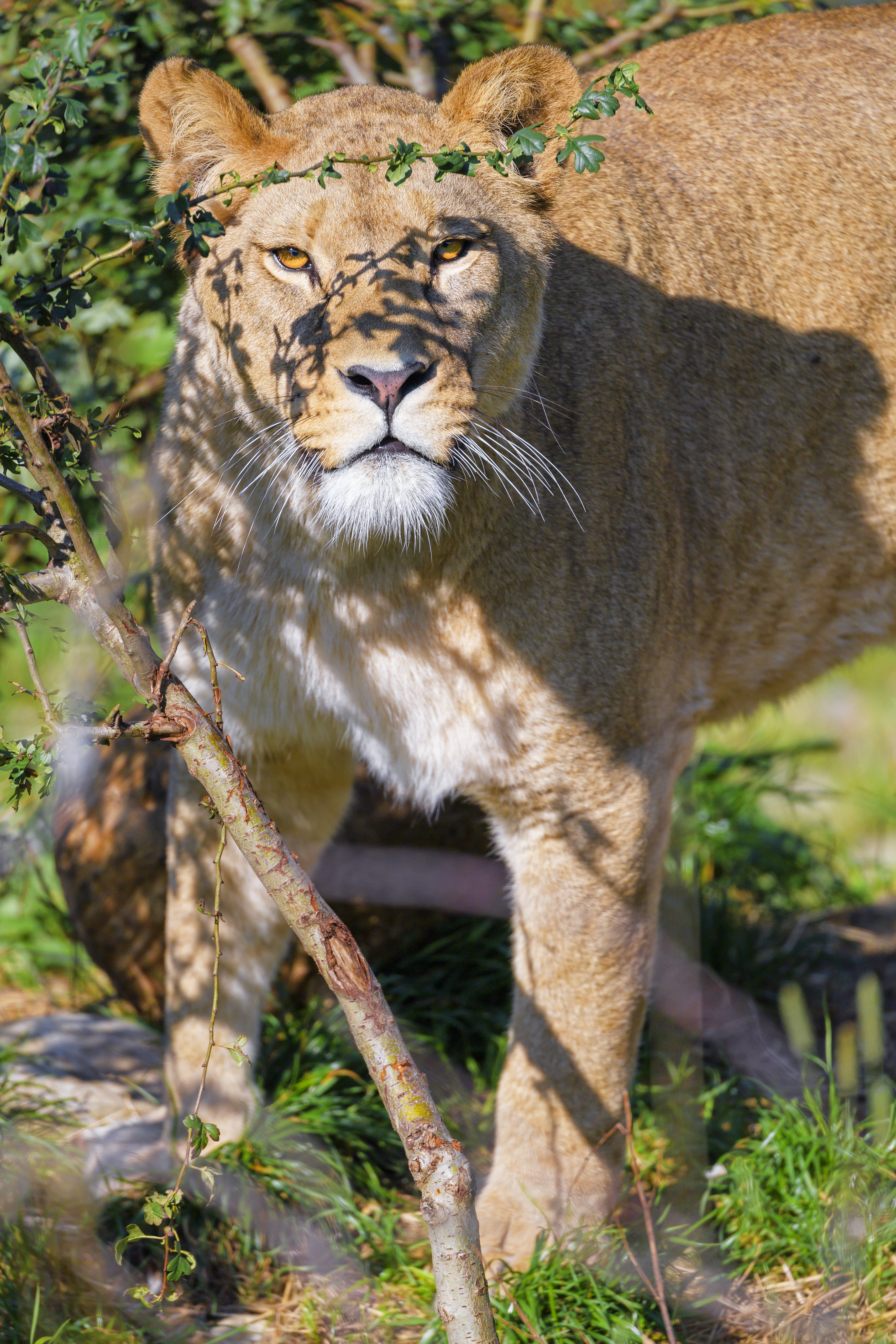 92235 download wallpaper Animals, Lioness, Big Cat, Beast, Predator, Sight, Opinion, Branches screensavers and pictures for free