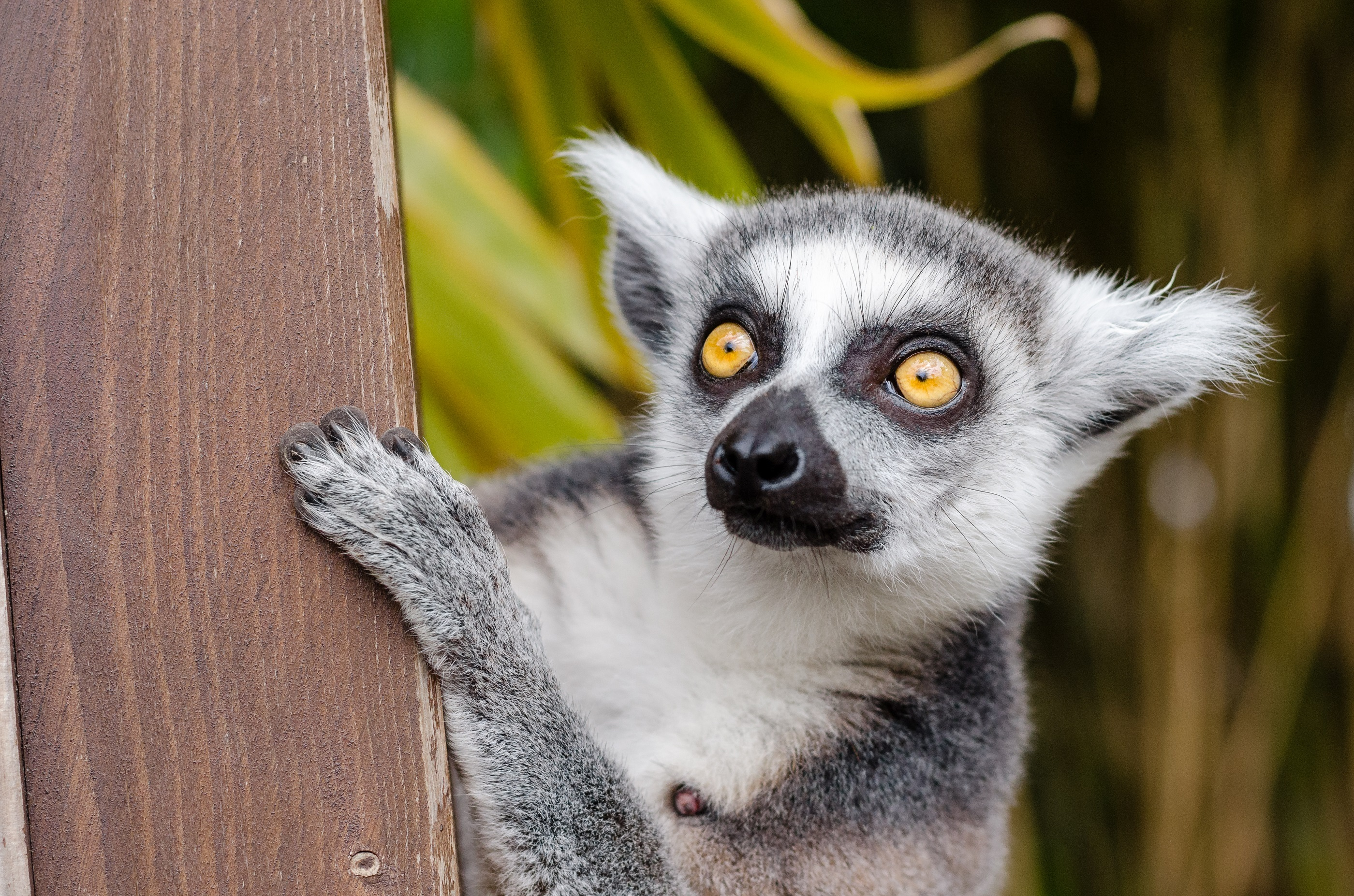 79521 download wallpaper Animals, Spotted, Spotty, Sight, Opinion, Lemur screensavers and pictures for free
