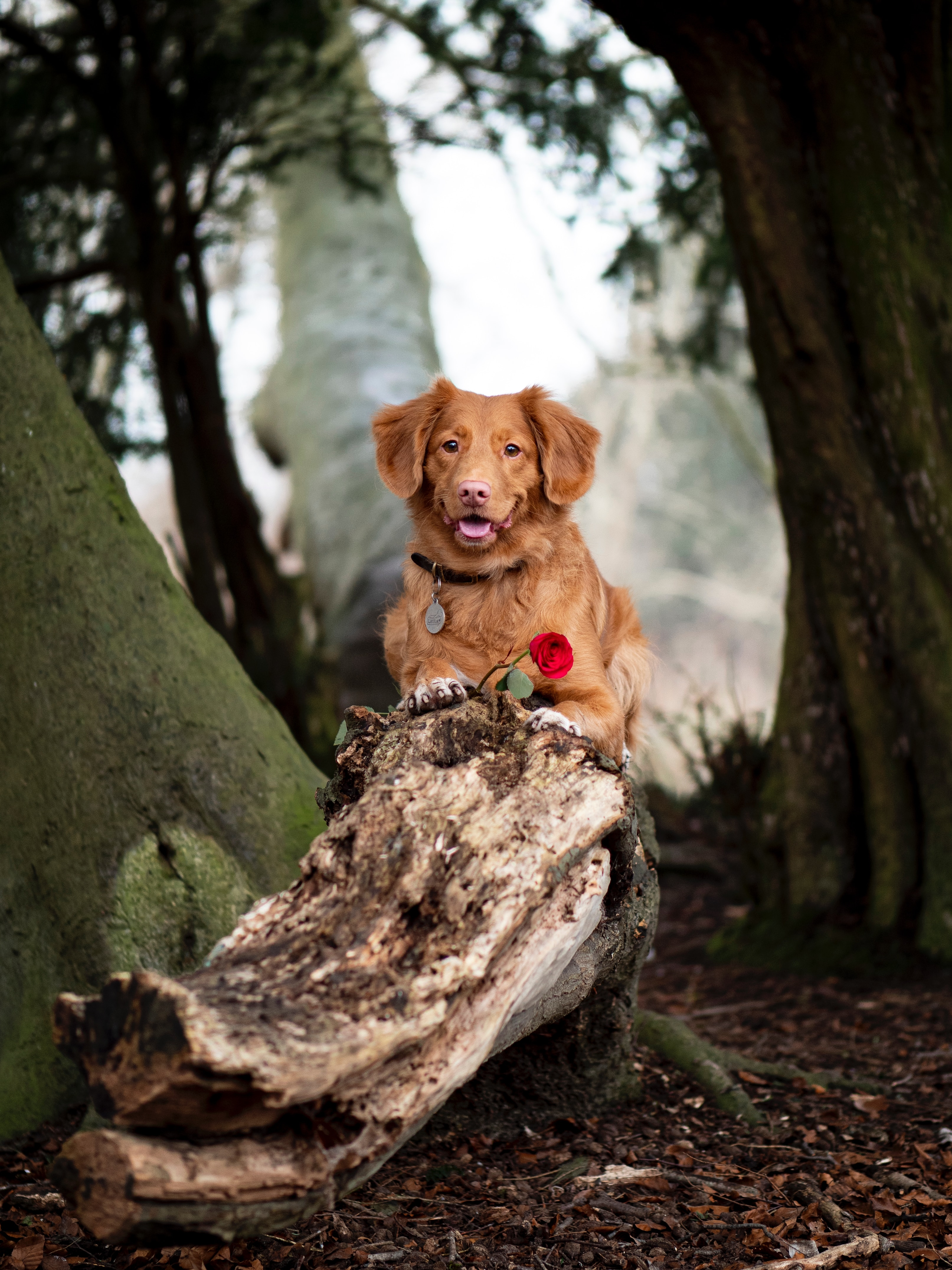 105862 download wallpaper Animals, Golden Retriever, Dog, Brown, Pet, Flower screensavers and pictures for free