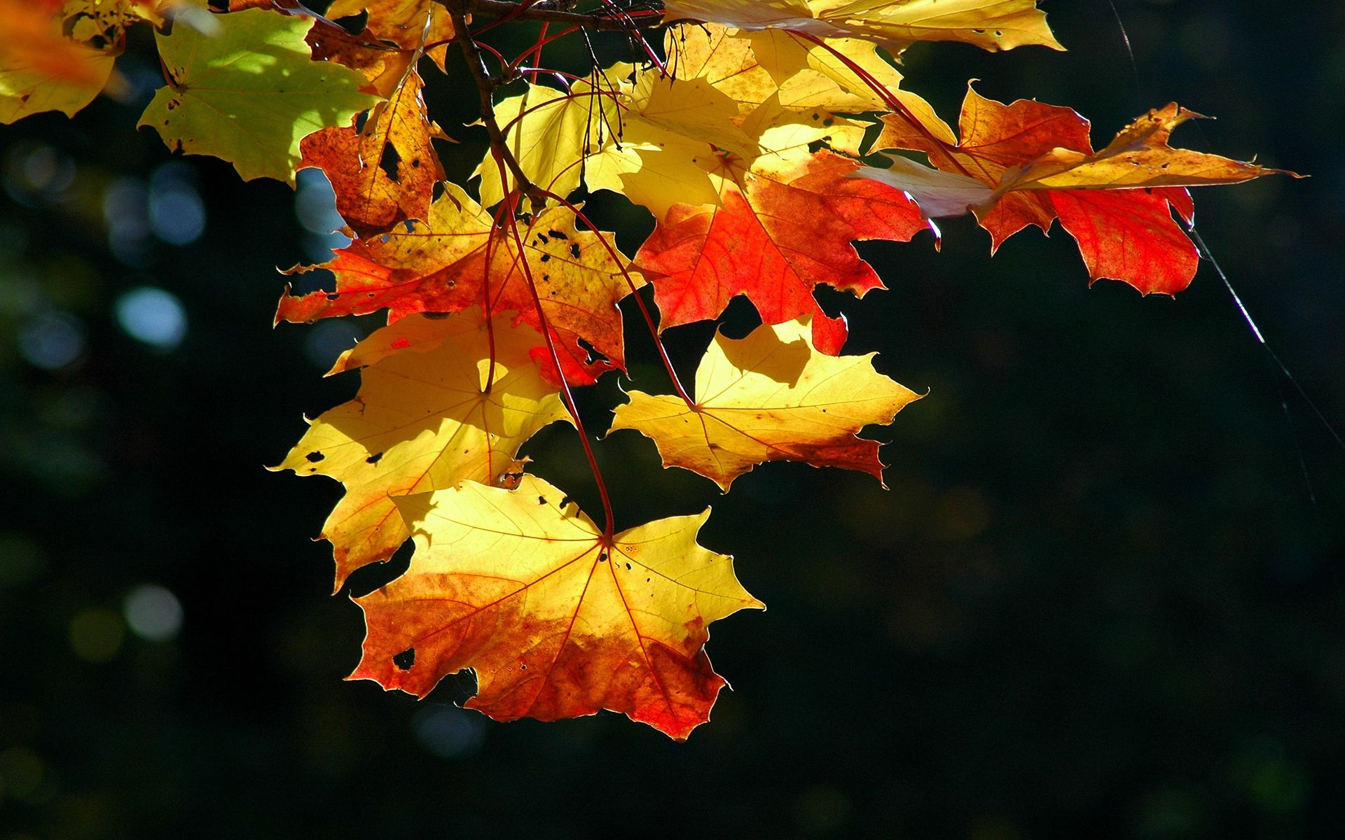 137478 download wallpaper Nature, Leaves, Maple, Dry, Shine, Light screensavers and pictures for free