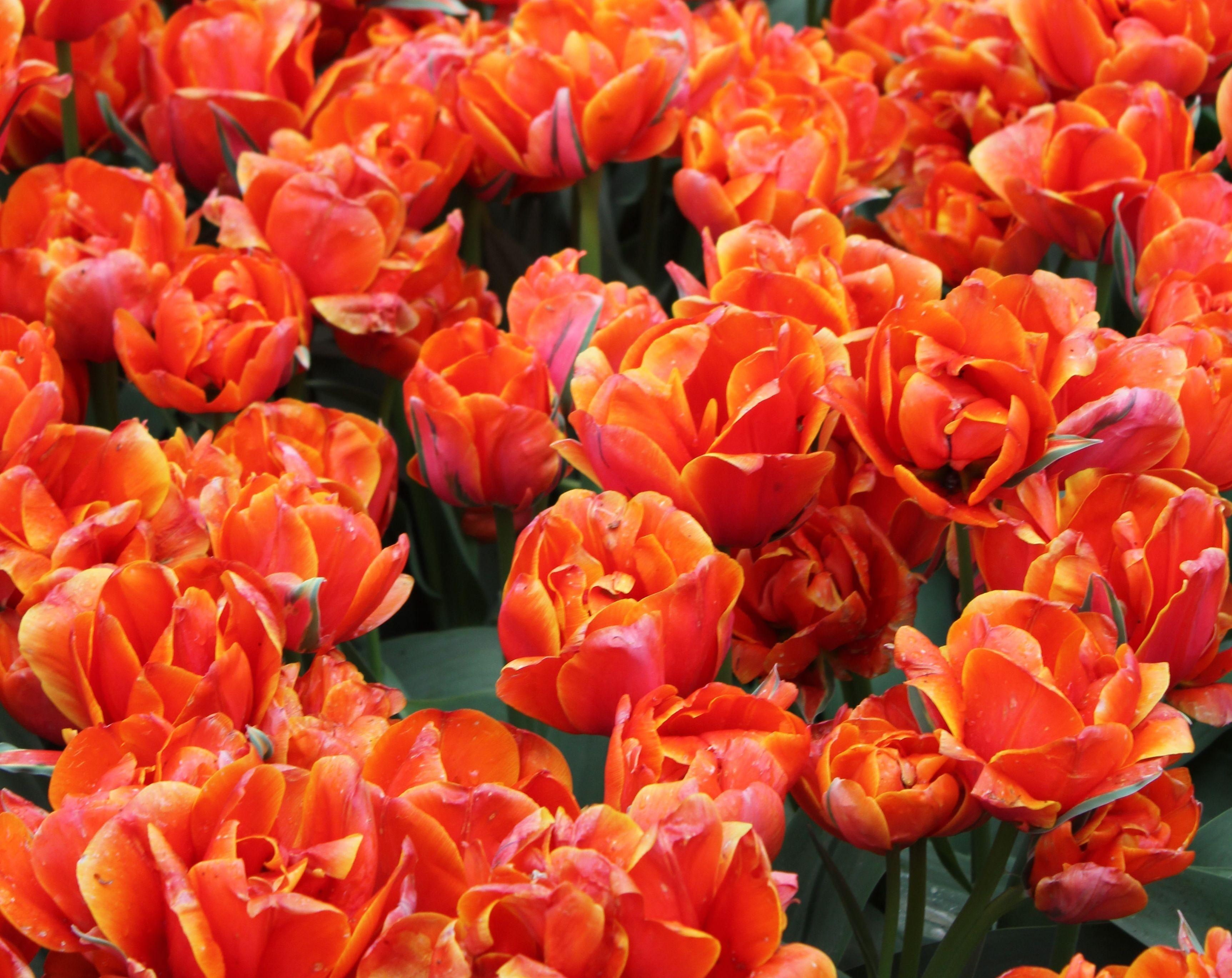 140523 download wallpaper Flowers, Buds, Bright, Tulips screensavers and pictures for free
