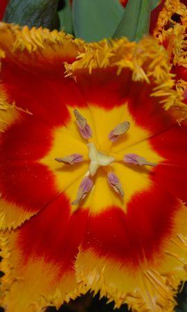 8641 скачать обои Растения, Цветы, Тюльпаны - заставки и картинки бесплатно